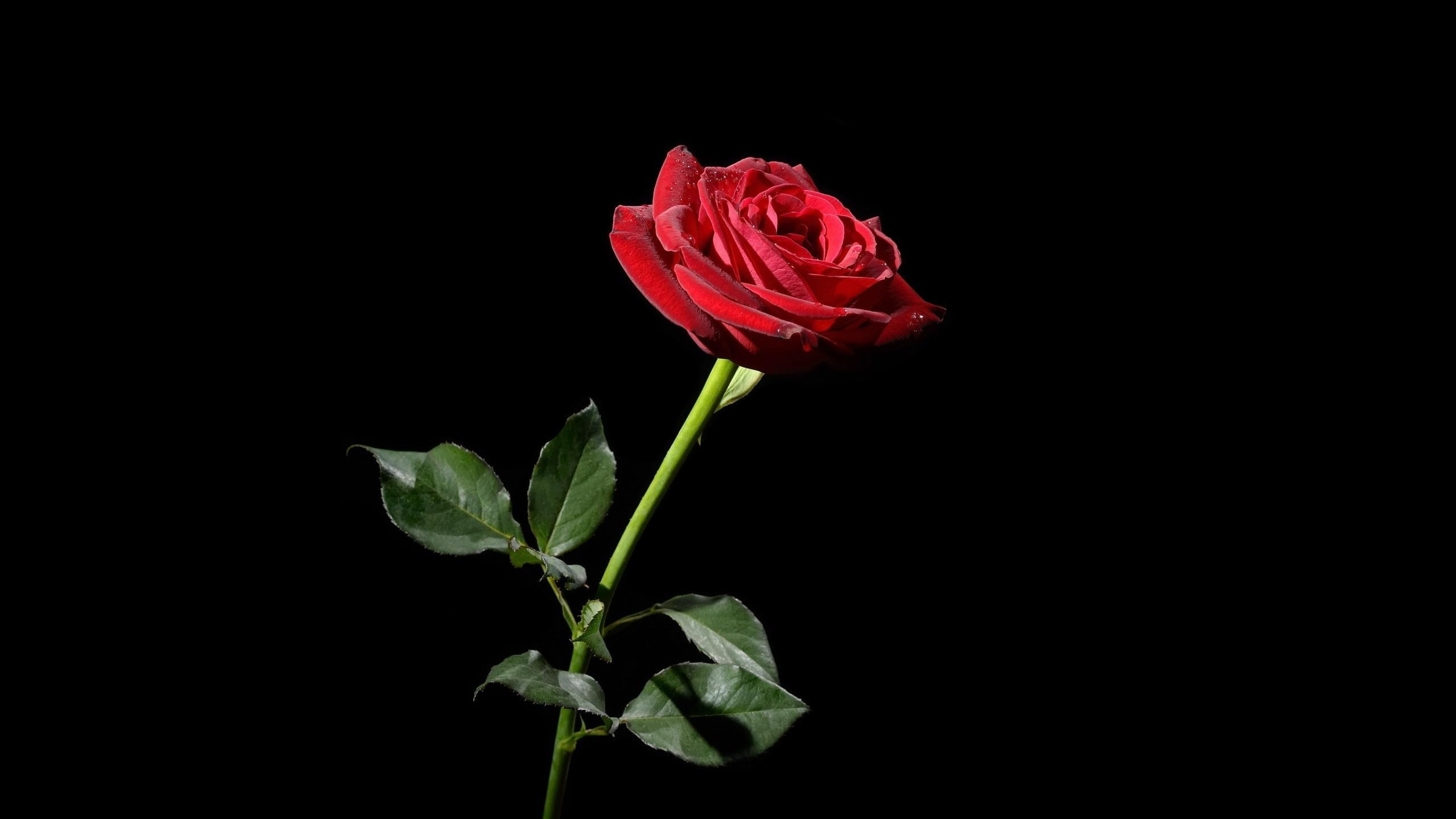 Black and red rose wallpaper 63 images - Pink rose black background wallpaper ...