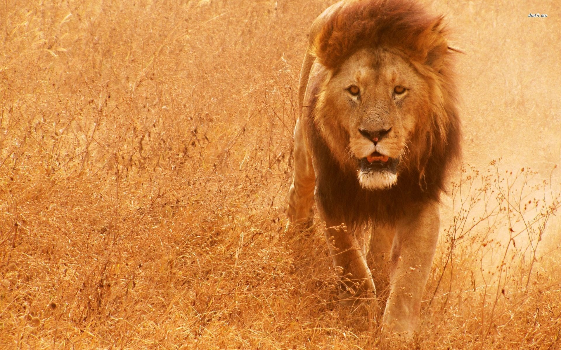 Lion Screensavers And Wallpaper (63+ Images
