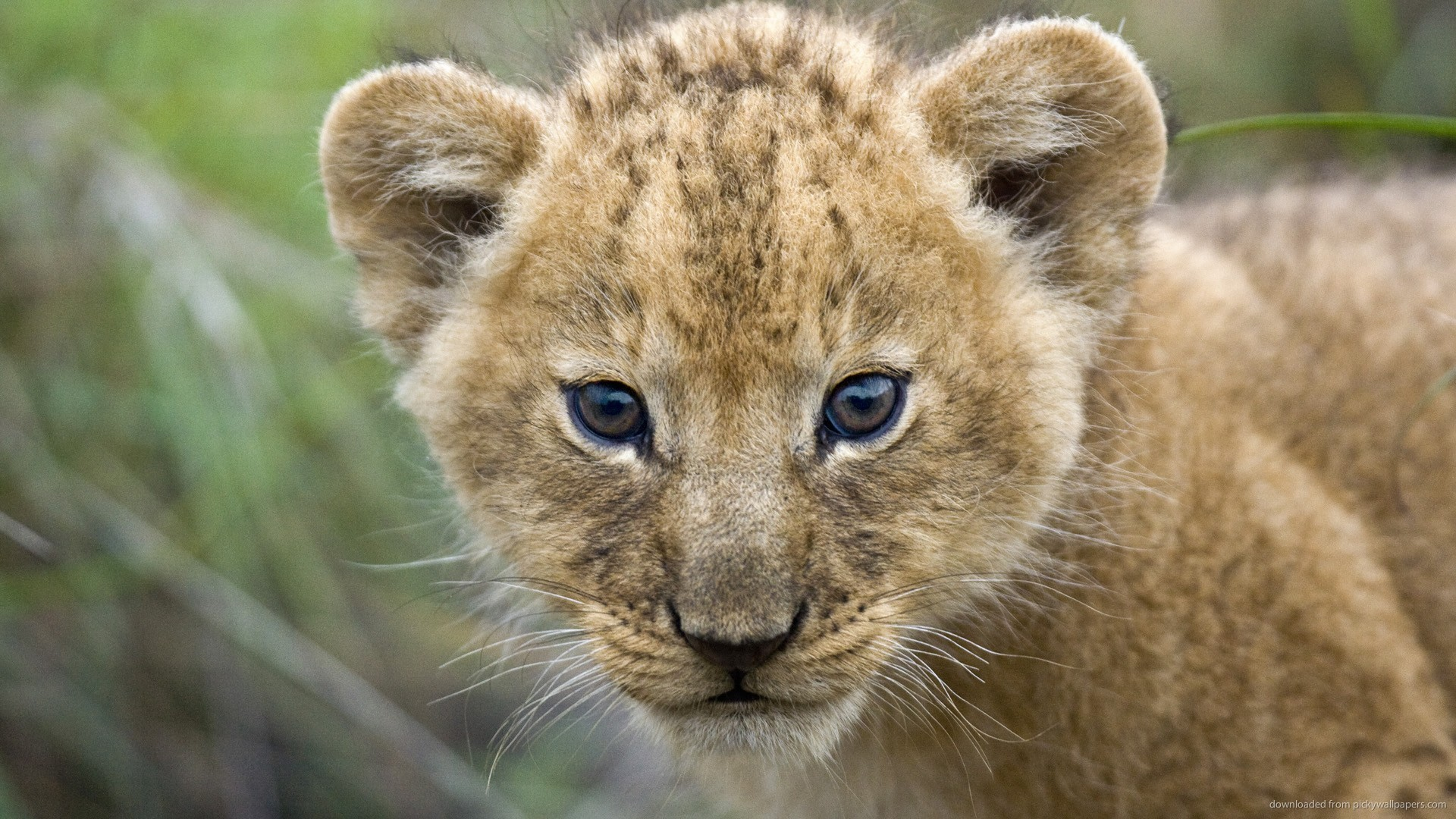 1920x1080 HD Little Lion Cub wallpaper