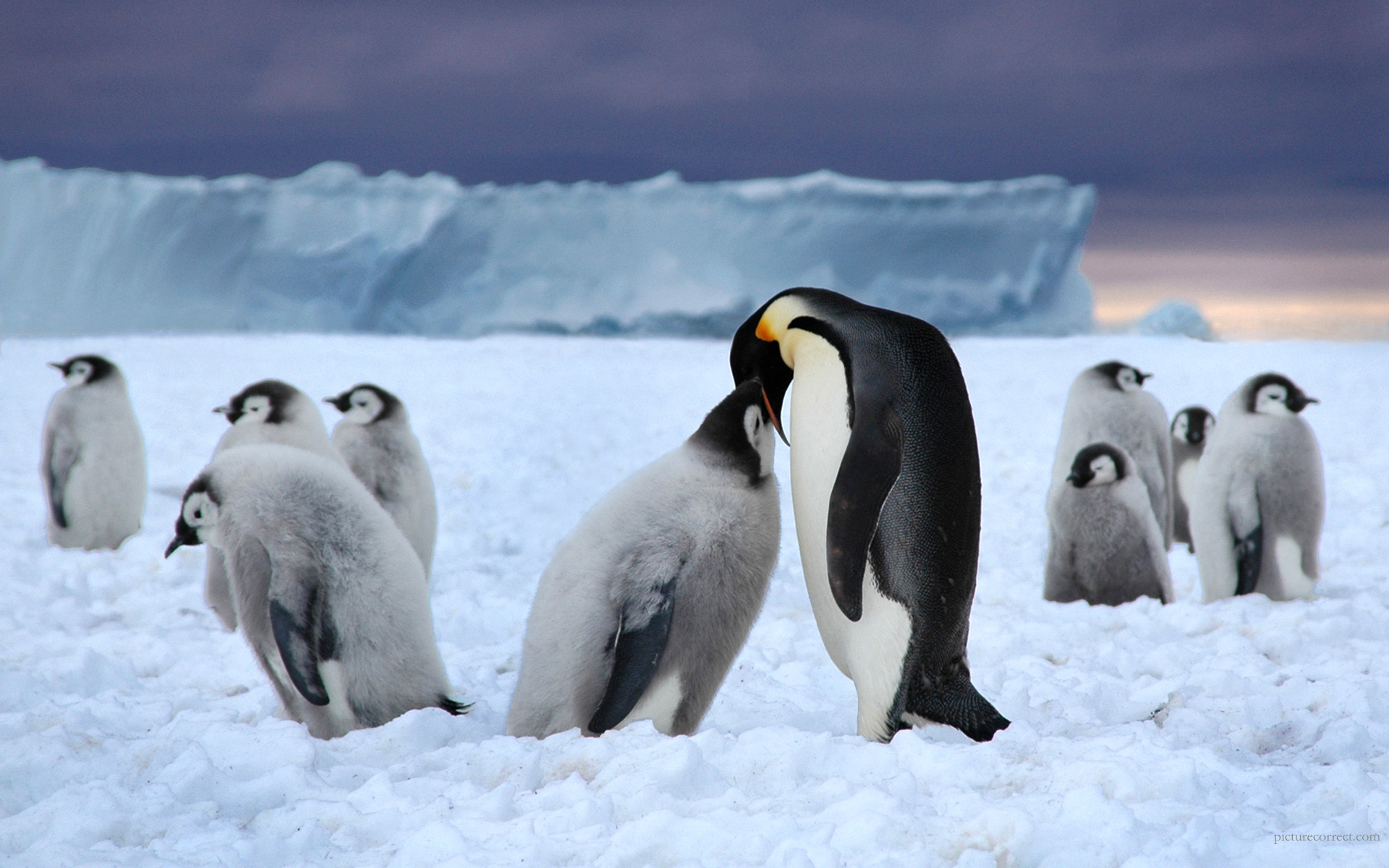 1920x1200 Emperor Penguin Wallpaper 11 - 1920 X 1200
