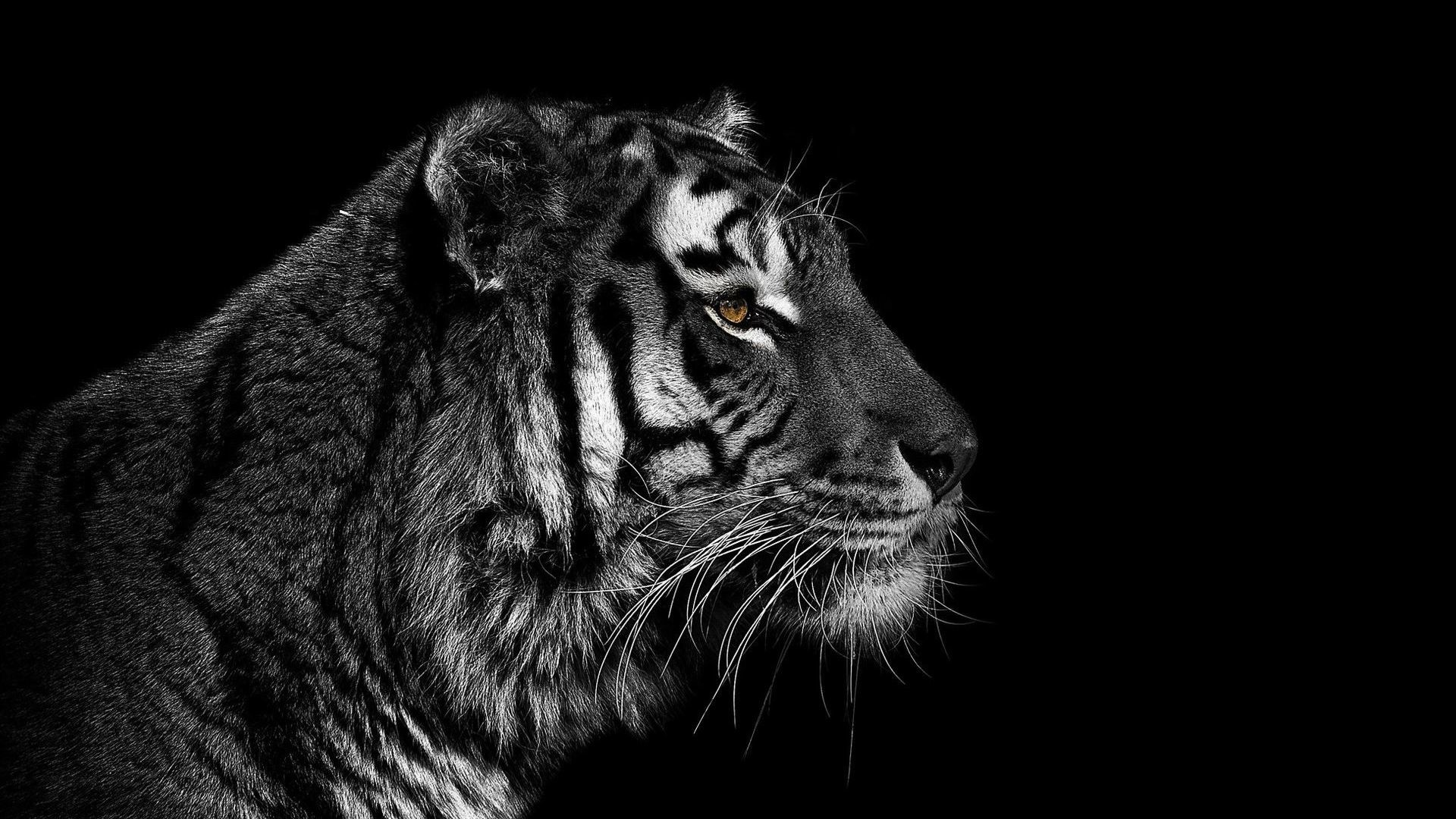 Black And White Tiger Wallpaper (60+ Images