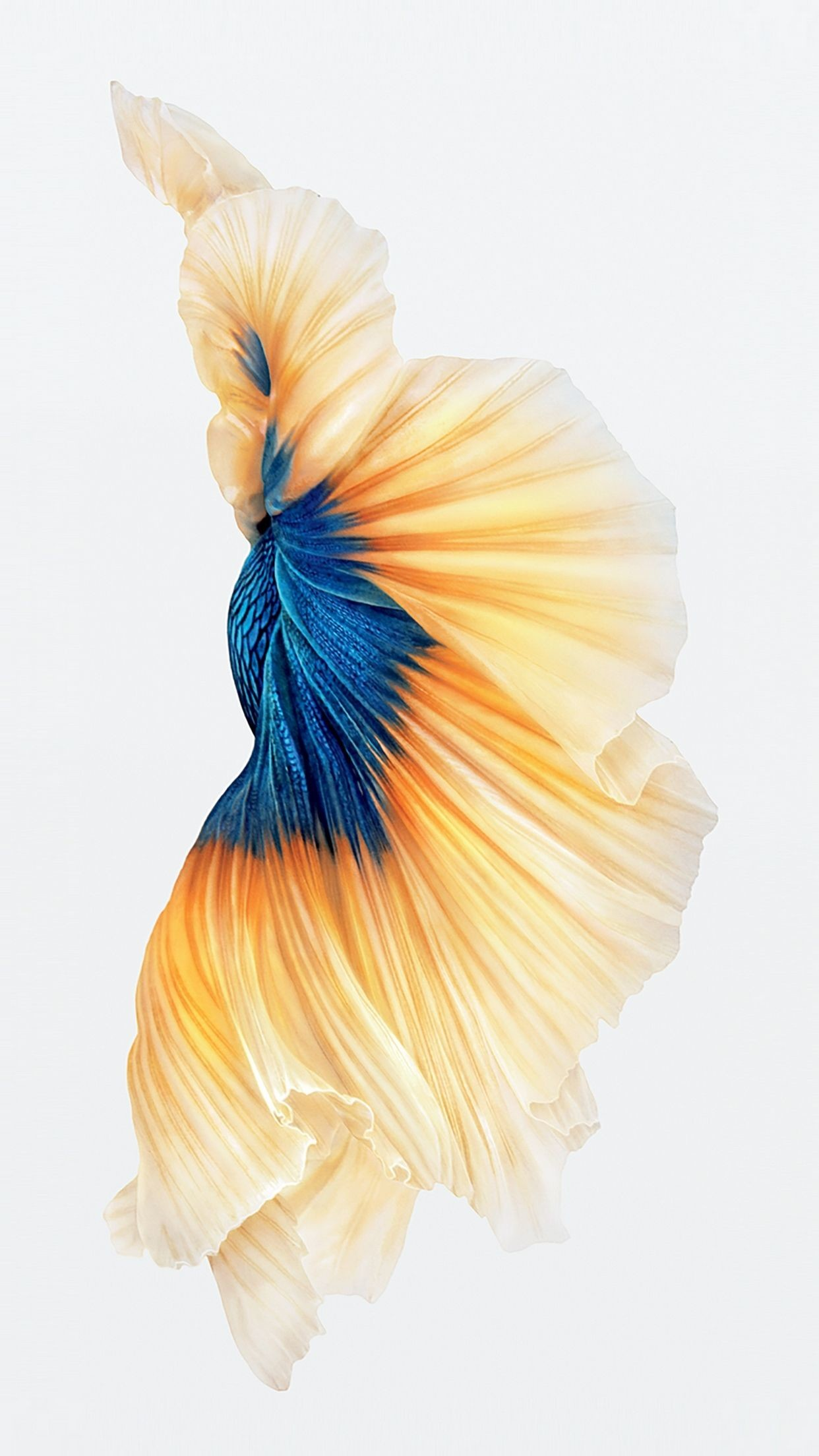 "1242x2208 1080x1920 Betta Fish Wallpaper iPhone 6 And iPhone 6s HD | Animal Wallpaper  ..."">"