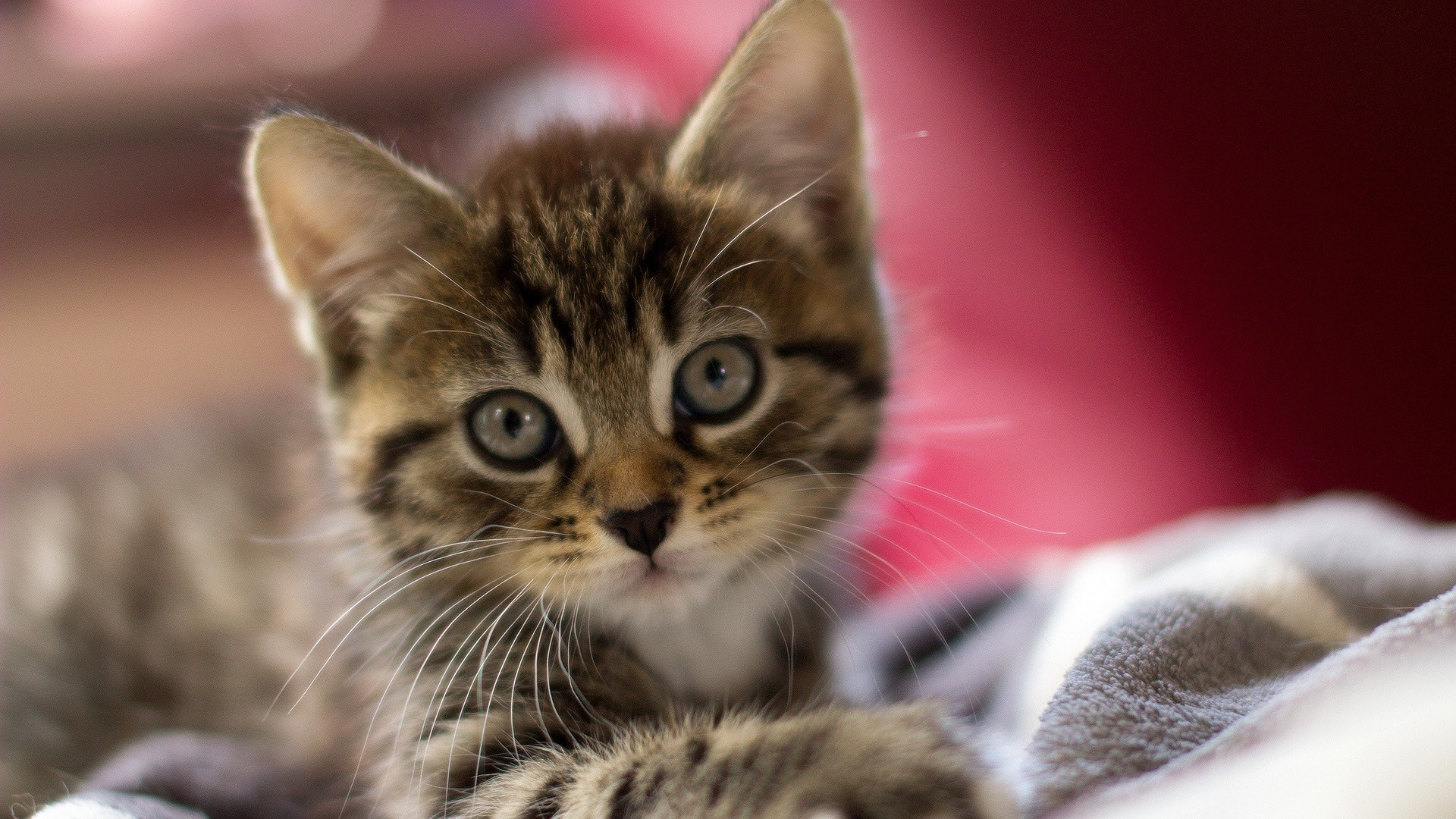 1920x1080 Pictures Of Cute Kittens Wallpapers (68 Wallpapers)