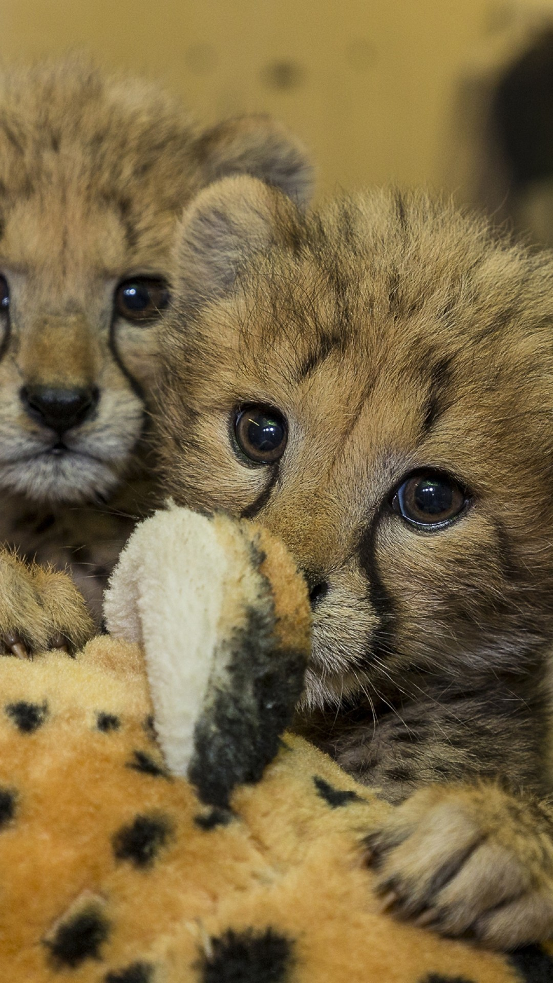 Baby Cheetah Wallpaper (66+ images) | 1080 x 1920 jpeg 496kB