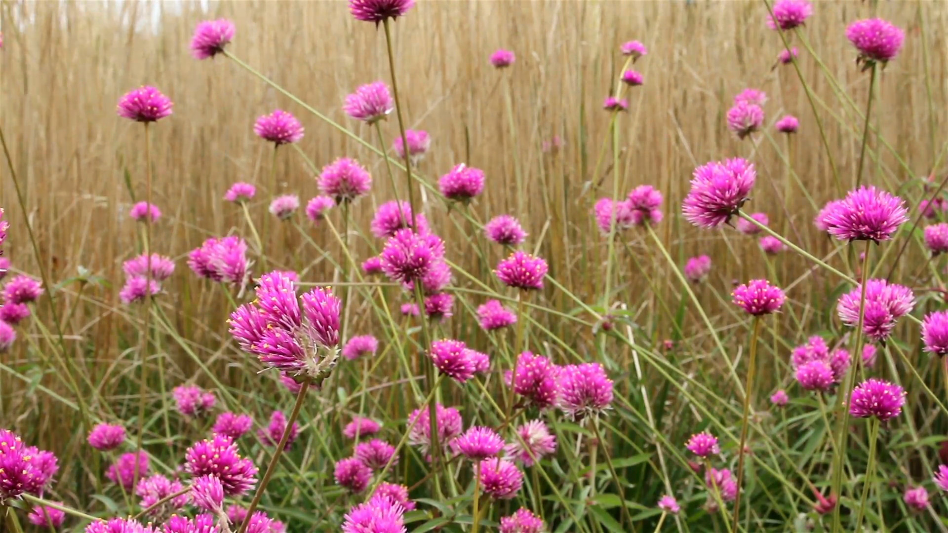 Res: 1920x1080, Pretty pink flowers swaying in the wind with long tall grass in the  background Stock Video Footage - Storyblocks Video