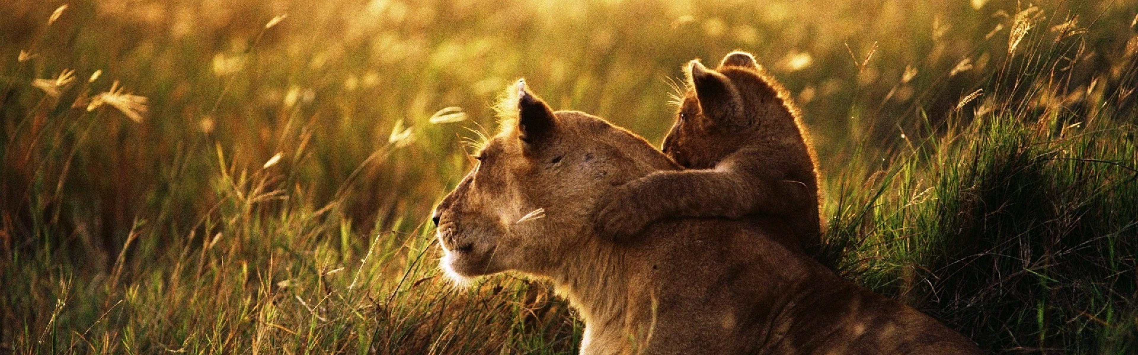 3840x1200  Wallpaper lion, lion cub, family, cub, caring, baby, sunshine
