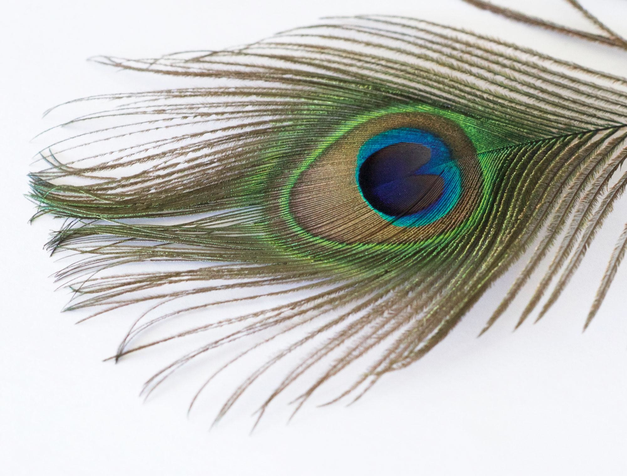 2000x1519 Peacock Feather