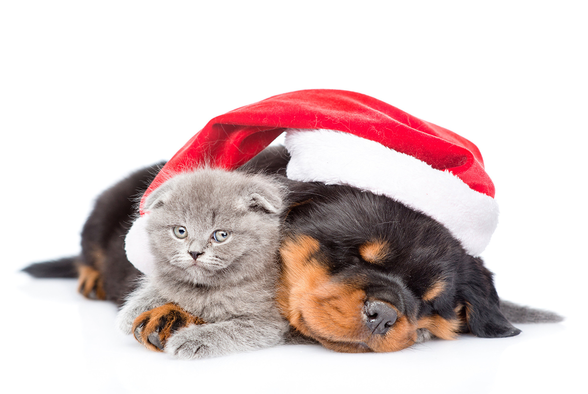 1920x1287 Wallpapers kitty cat Rottweiler Dogs Cats New year Winter hat Animals White  background  Kittens Christmas
