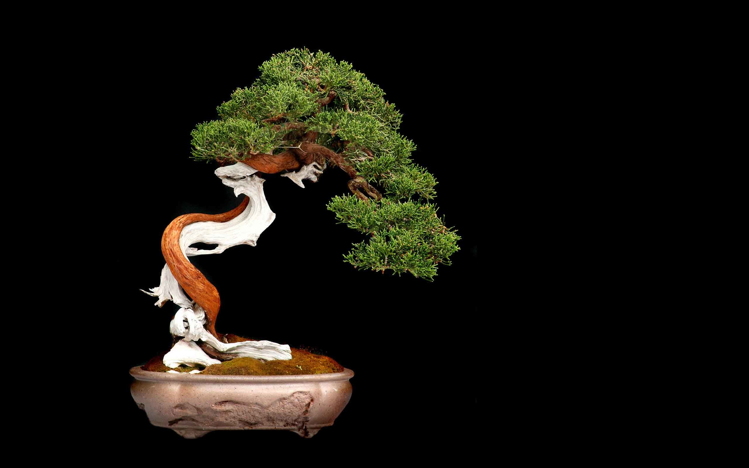 2560x1600 Trees Tree Leaves Bonsai HD Nature Wallpapers For Windows 7 Free Download