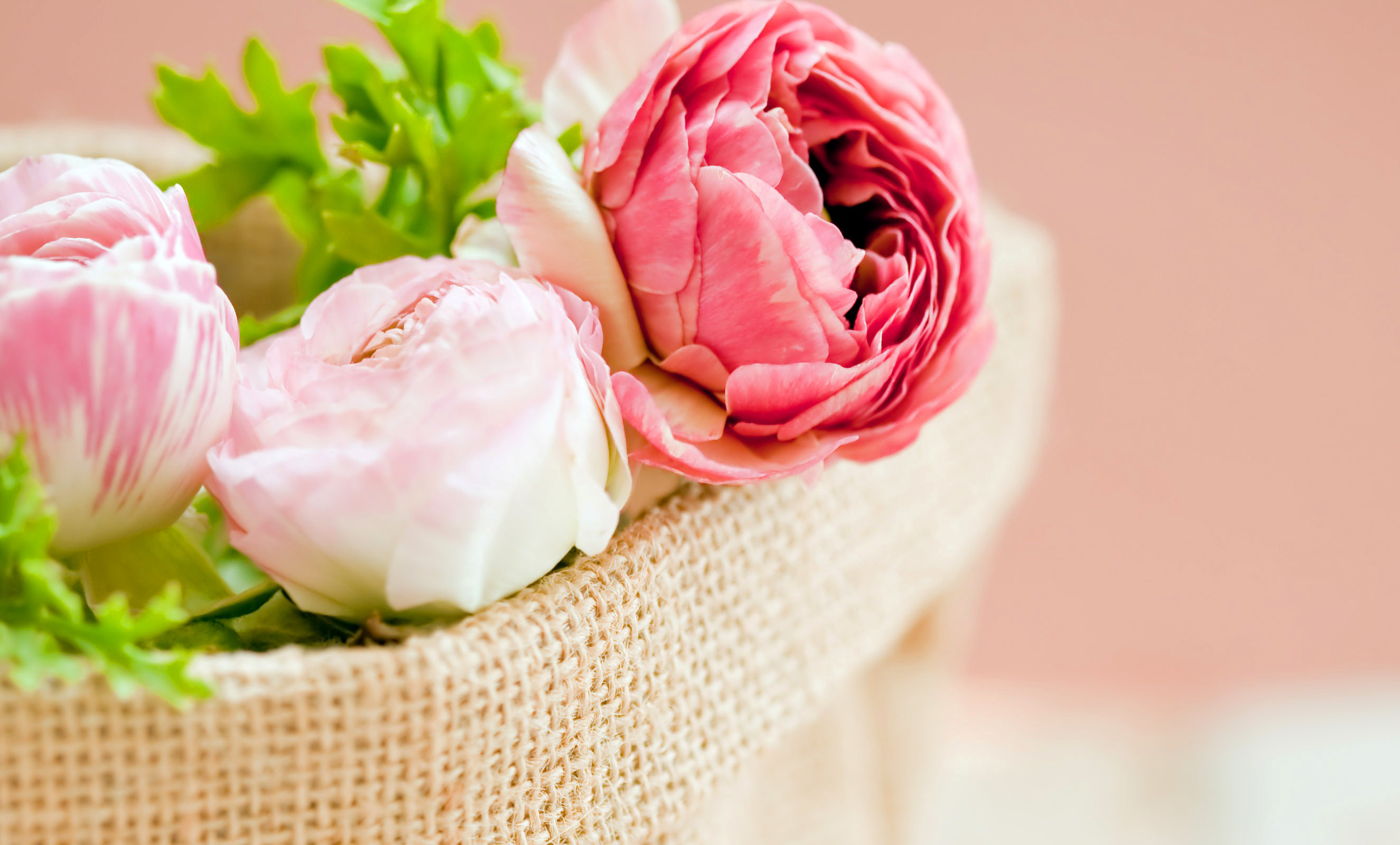 2650x1600 Peonies Pink color Flowers bokeh wallpaper background