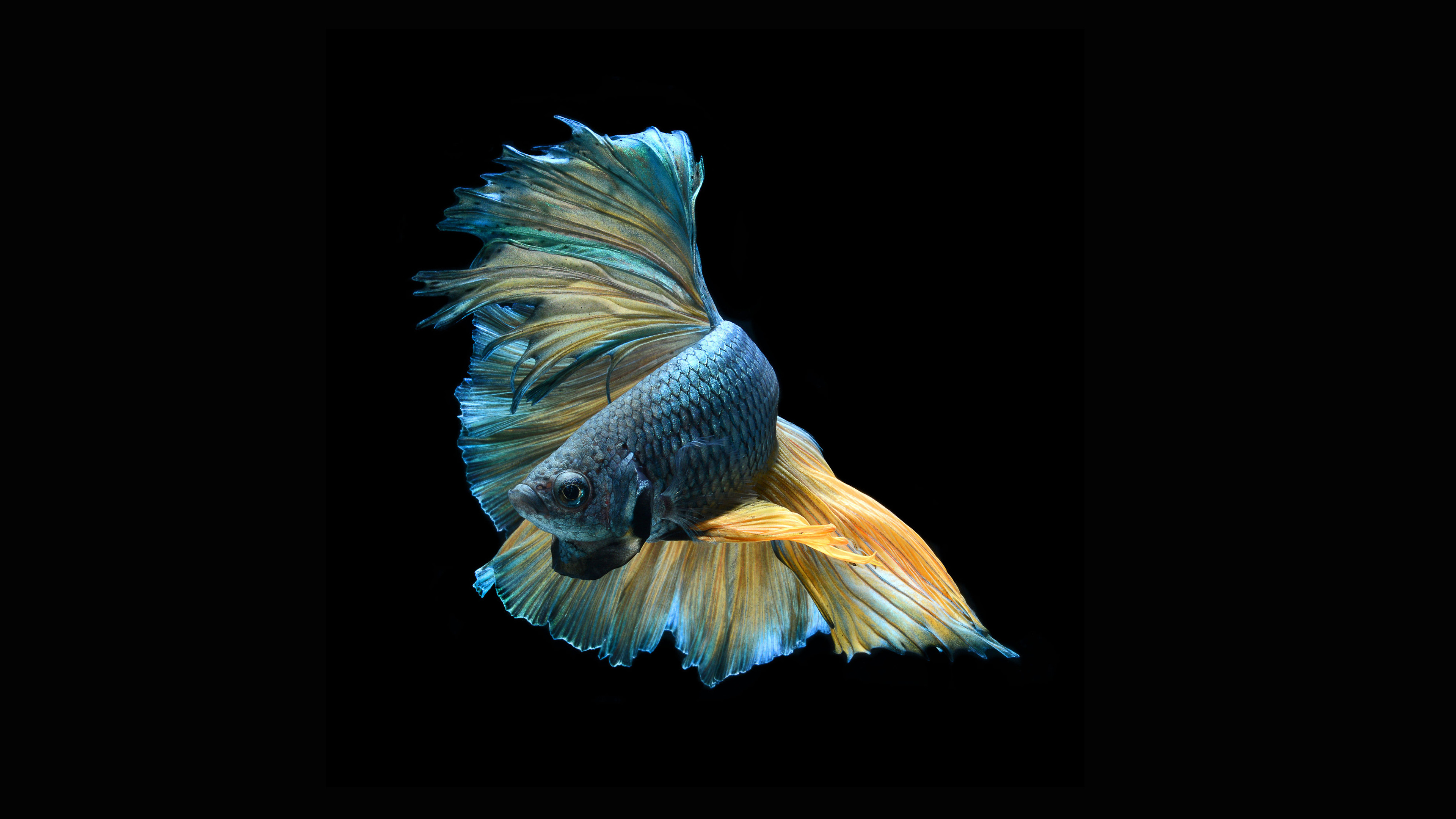 3840x2160 wallpaper.wiki-Art-Images-Betta-Fish-Download-PIC-