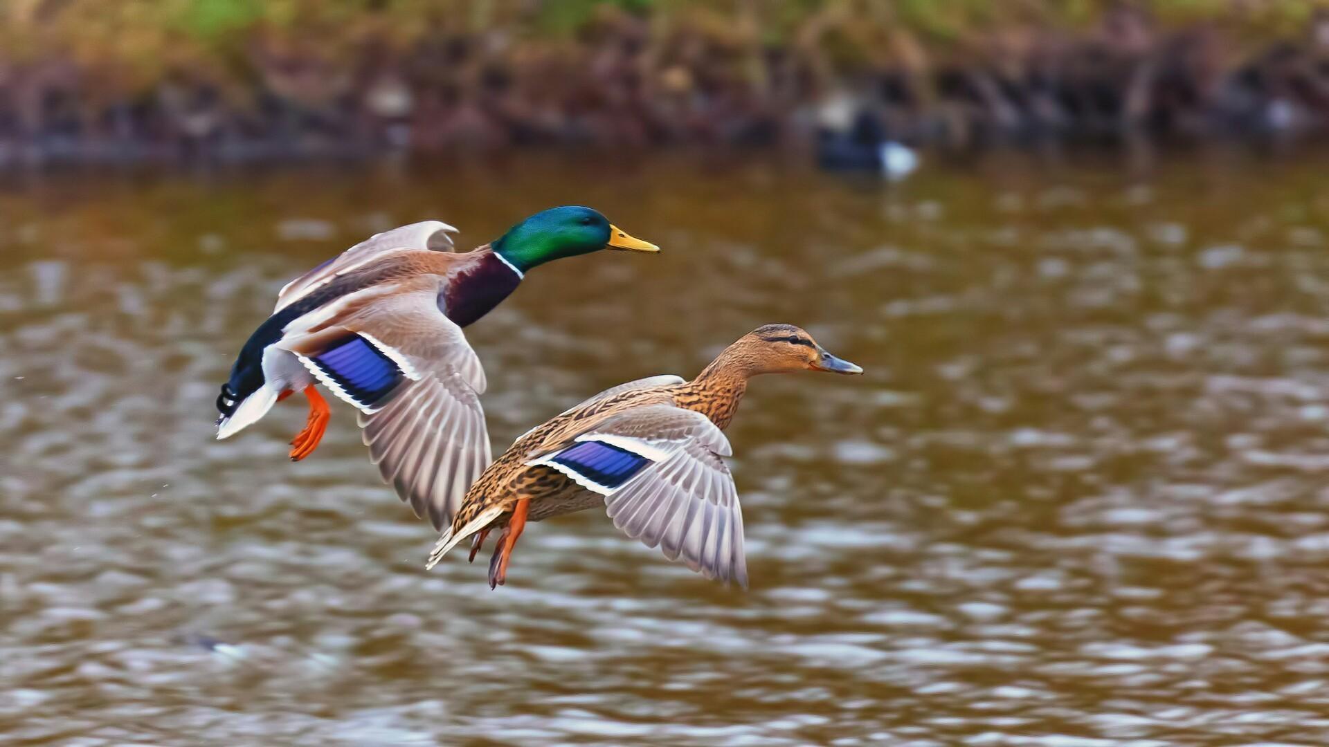 Mallard Duck Wallpaper (67+ images)