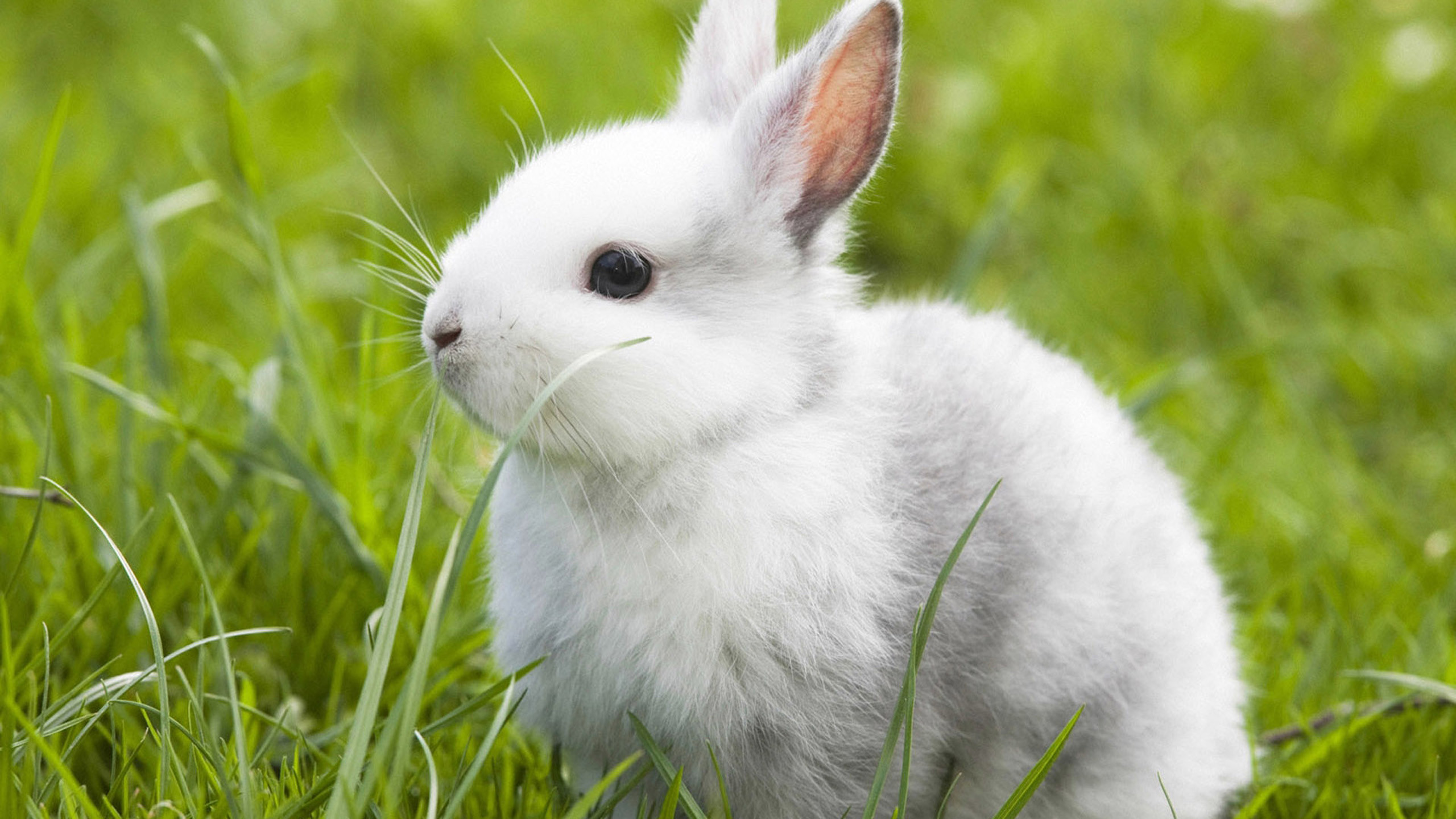 Cute White Rabbit Wallpapers For Desktop: White Rabbit Wallpaper (66+ Images
