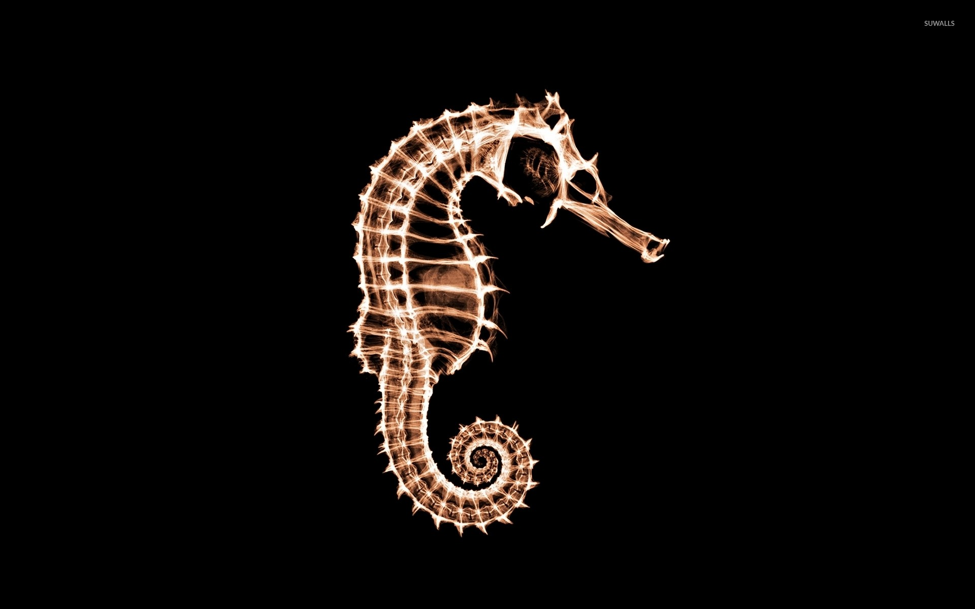 1920x1200 X-ray of a seahorse wallpaper  jpg