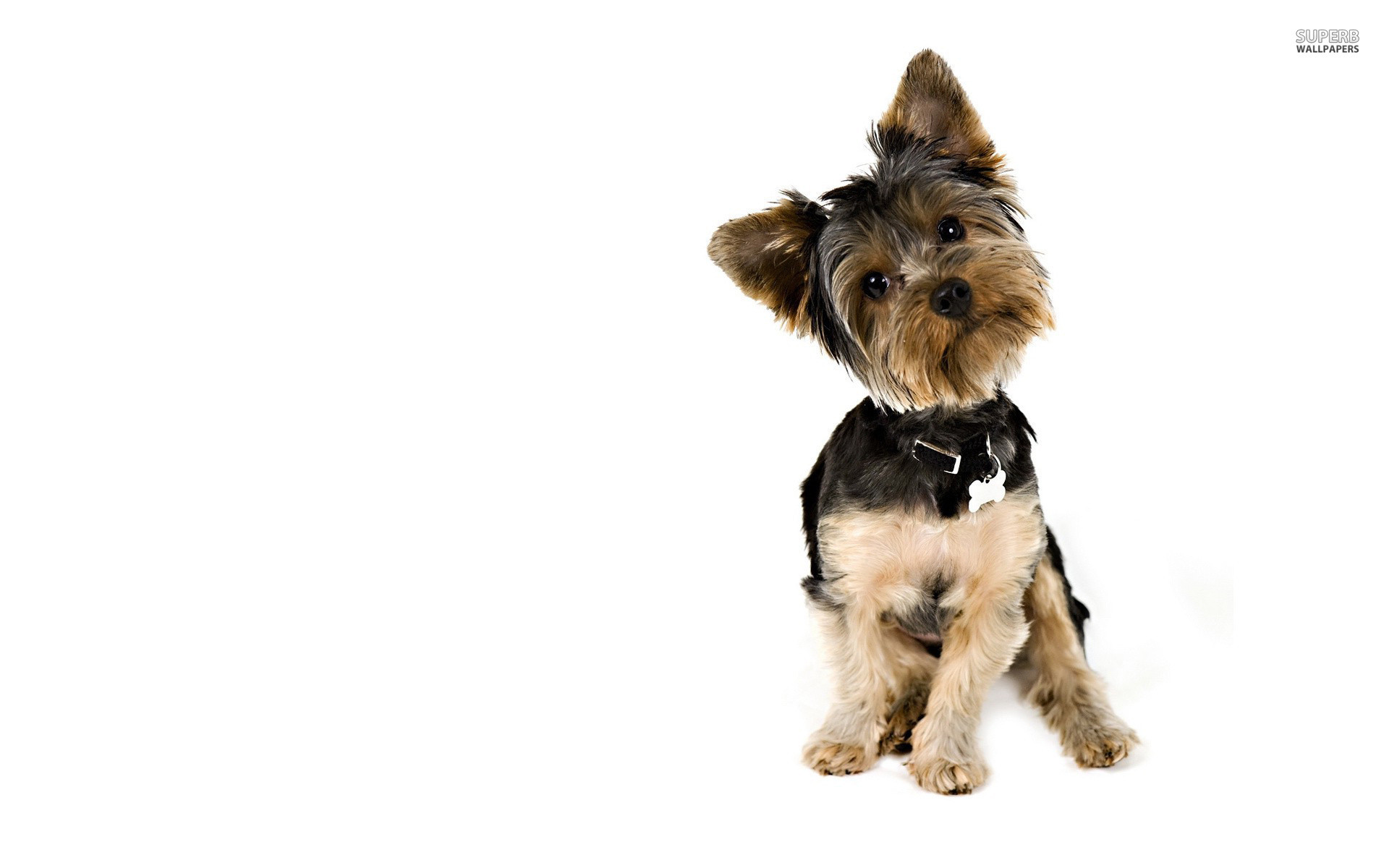 1920x1200 Yorkshire Terrier hd