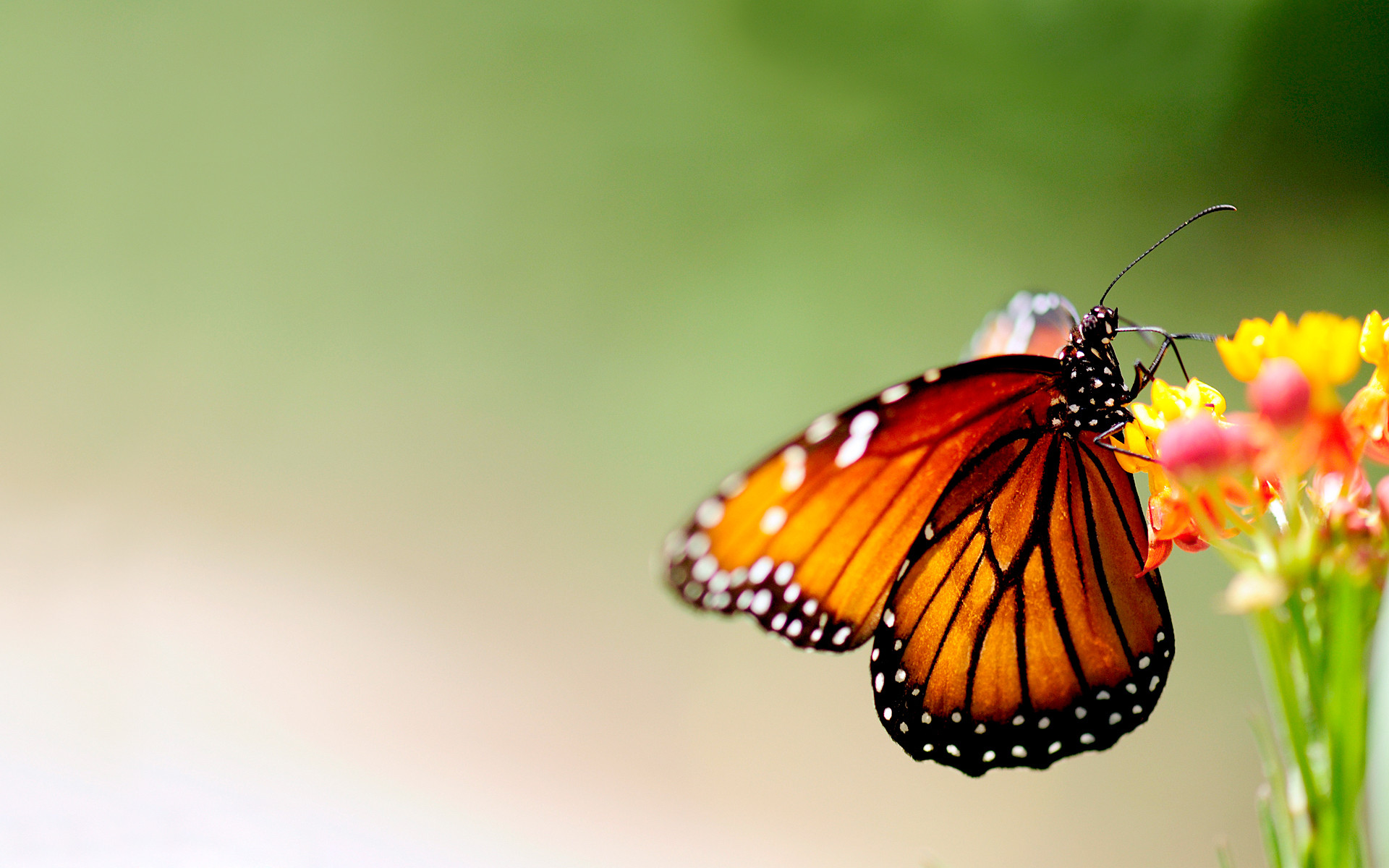1920x1200 ... Butterfly Wallpaper (22) ...