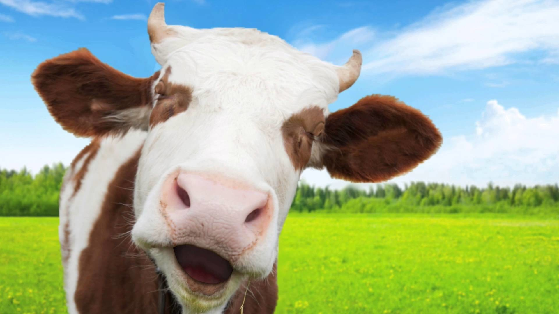 Funny Cow Wallpaper 54 Images