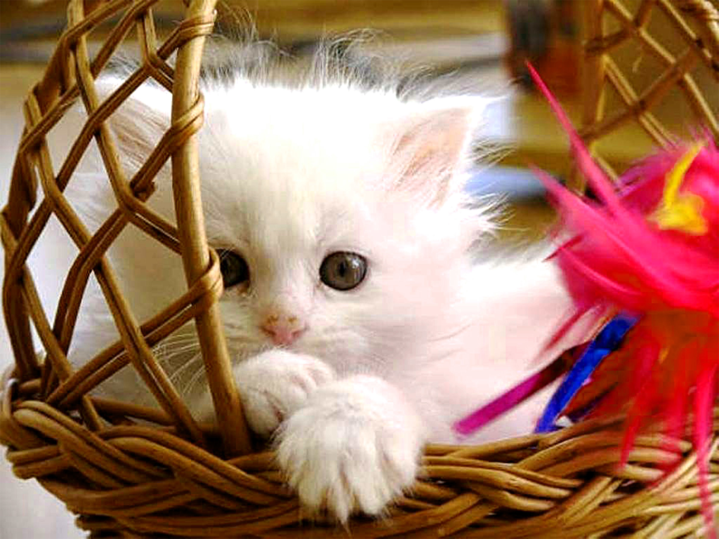2400x1800 Free Desktop Wallpapers And Backgrounds With Sweet Baby Cat Kitten