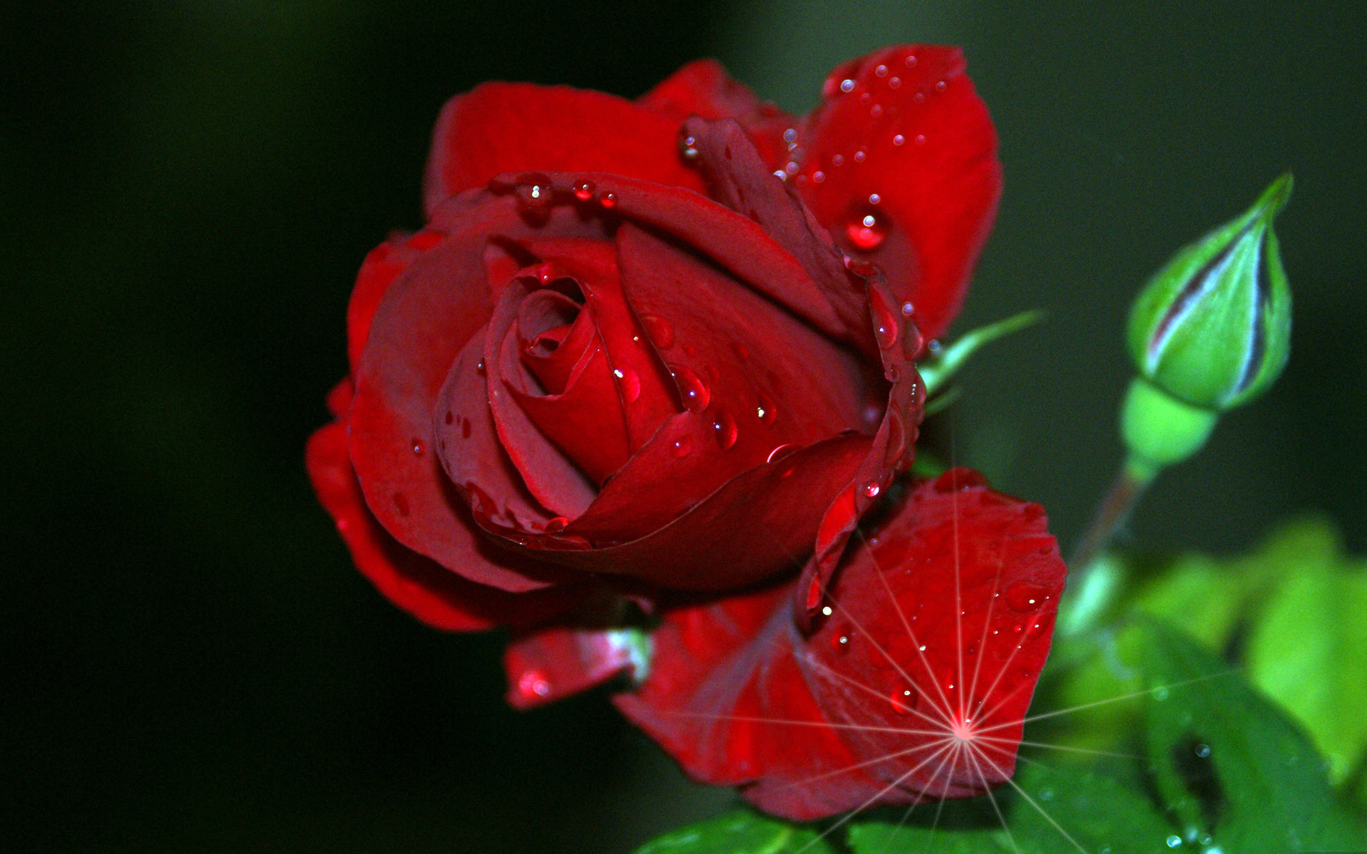 1920x1200 Red rose collected