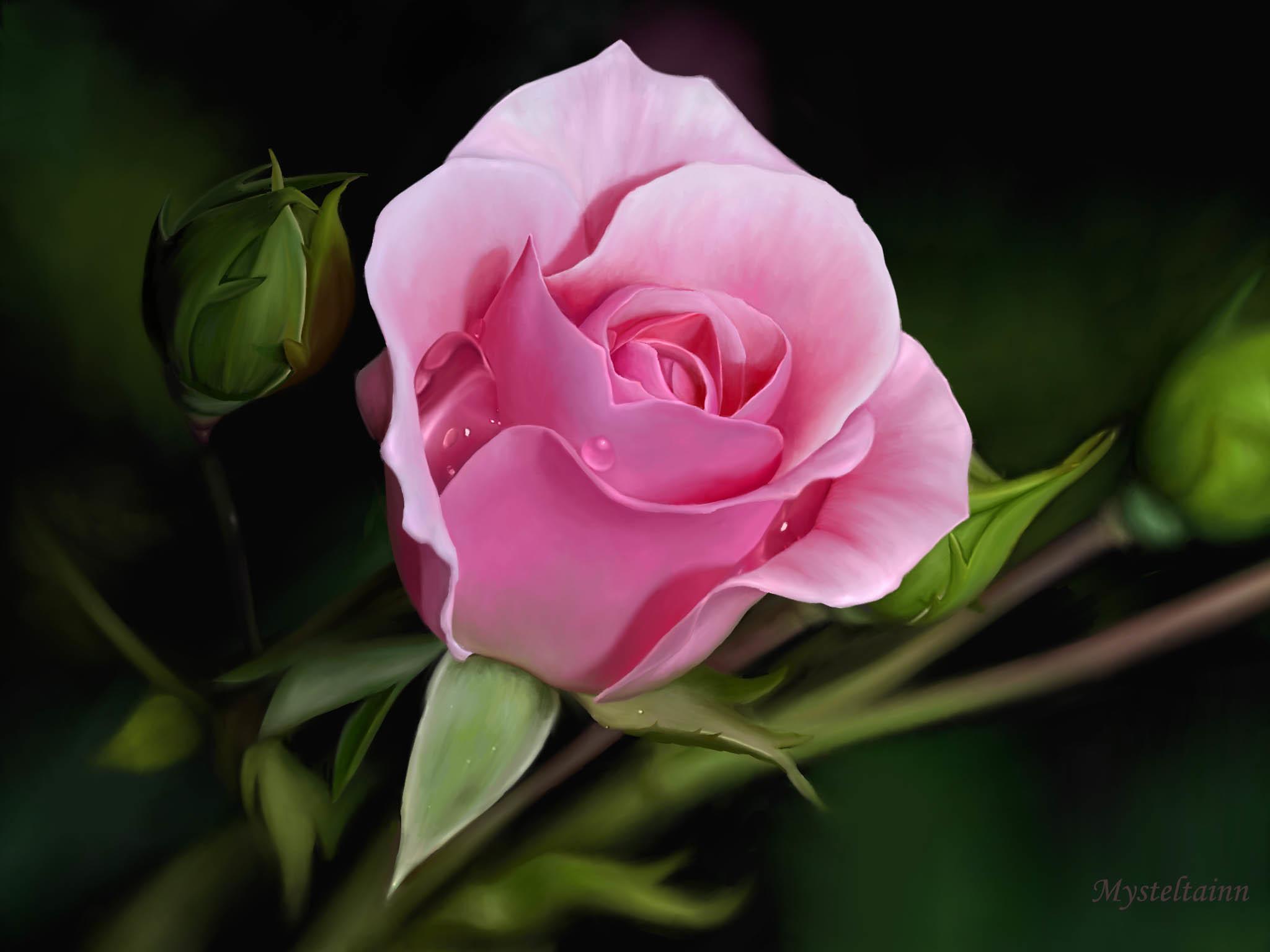 Pink And Black Rose Wallpaper 69 Images