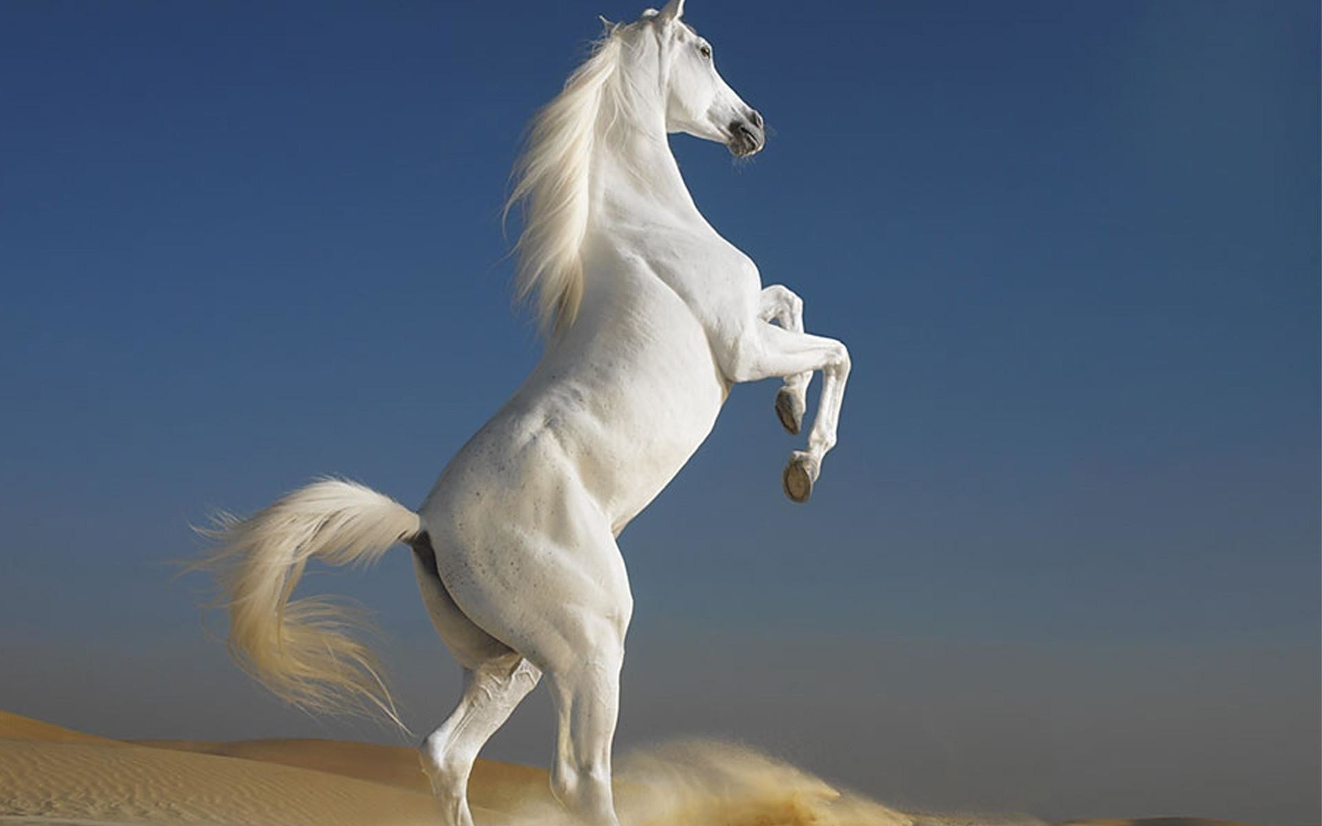 1920x1200 Beautiful white horse wallpapers and images wallpapers pictures .