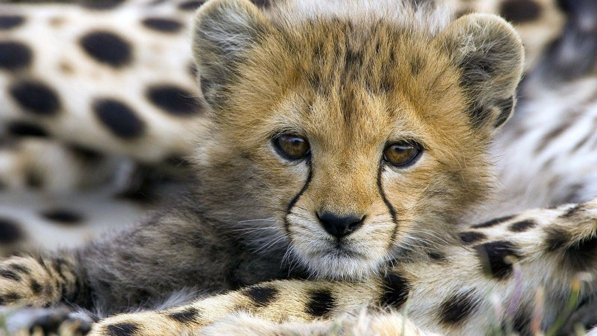 Cute Cheetah Wallpaper (58+ Images)