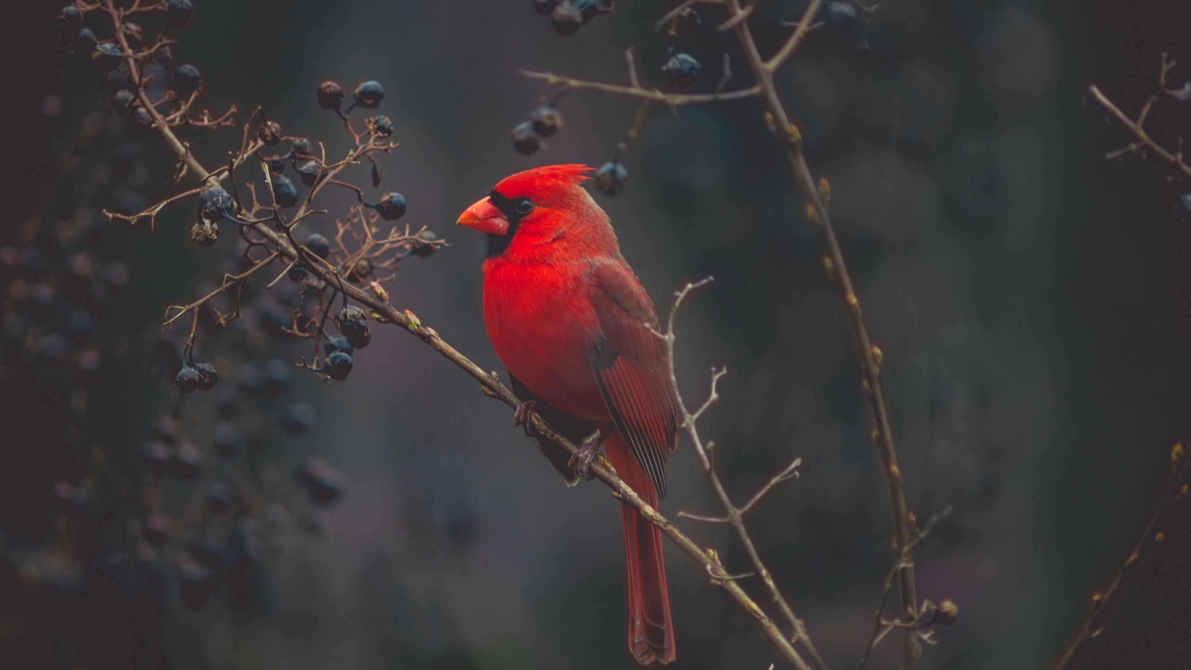3840x2160 Tree, Northern Cardinal, Arizona Cardinals, Red, Wildlife Wallpaper in   Resolution
