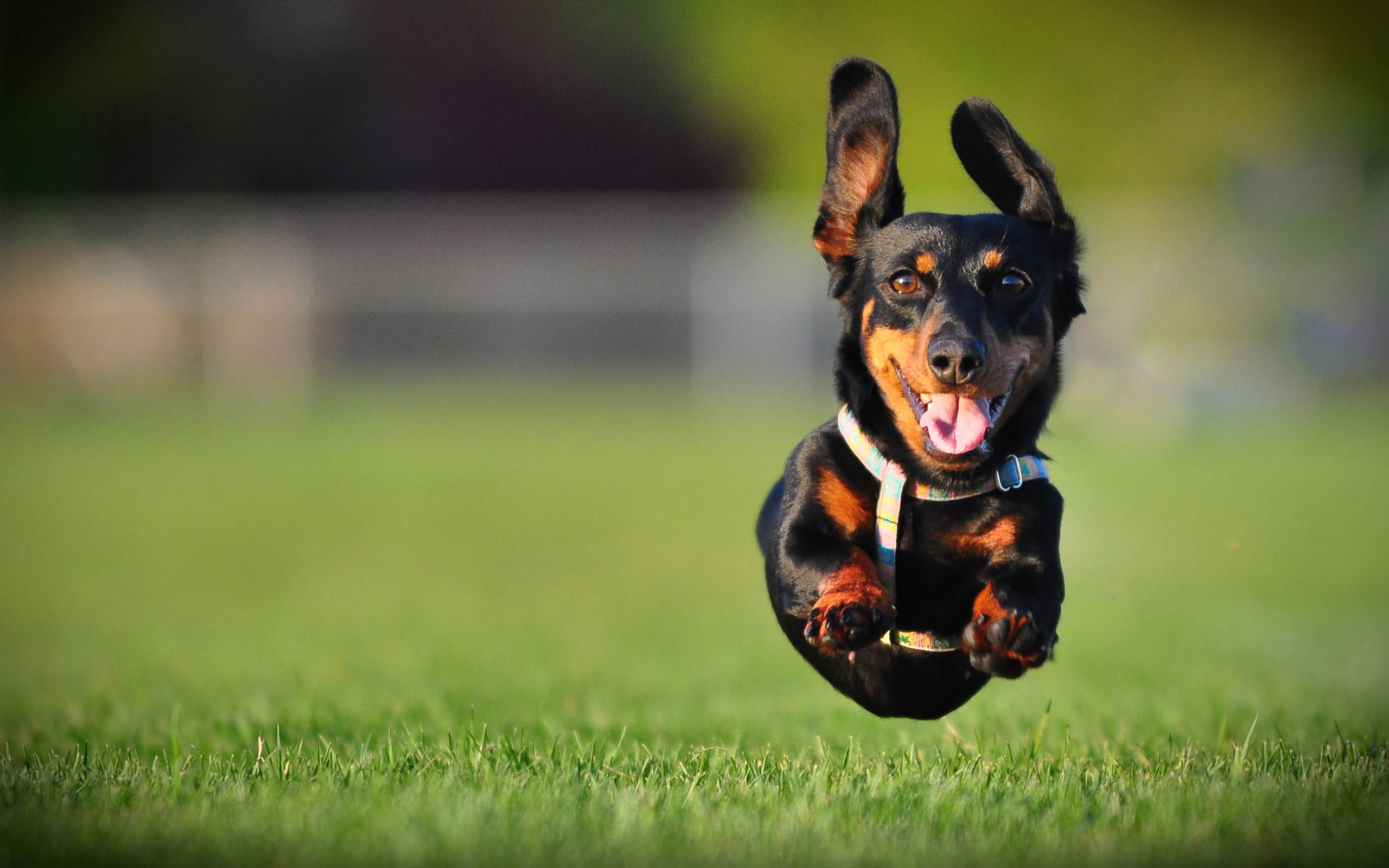 2560x1600 Animal - Dachshund Jump Wallpaper
