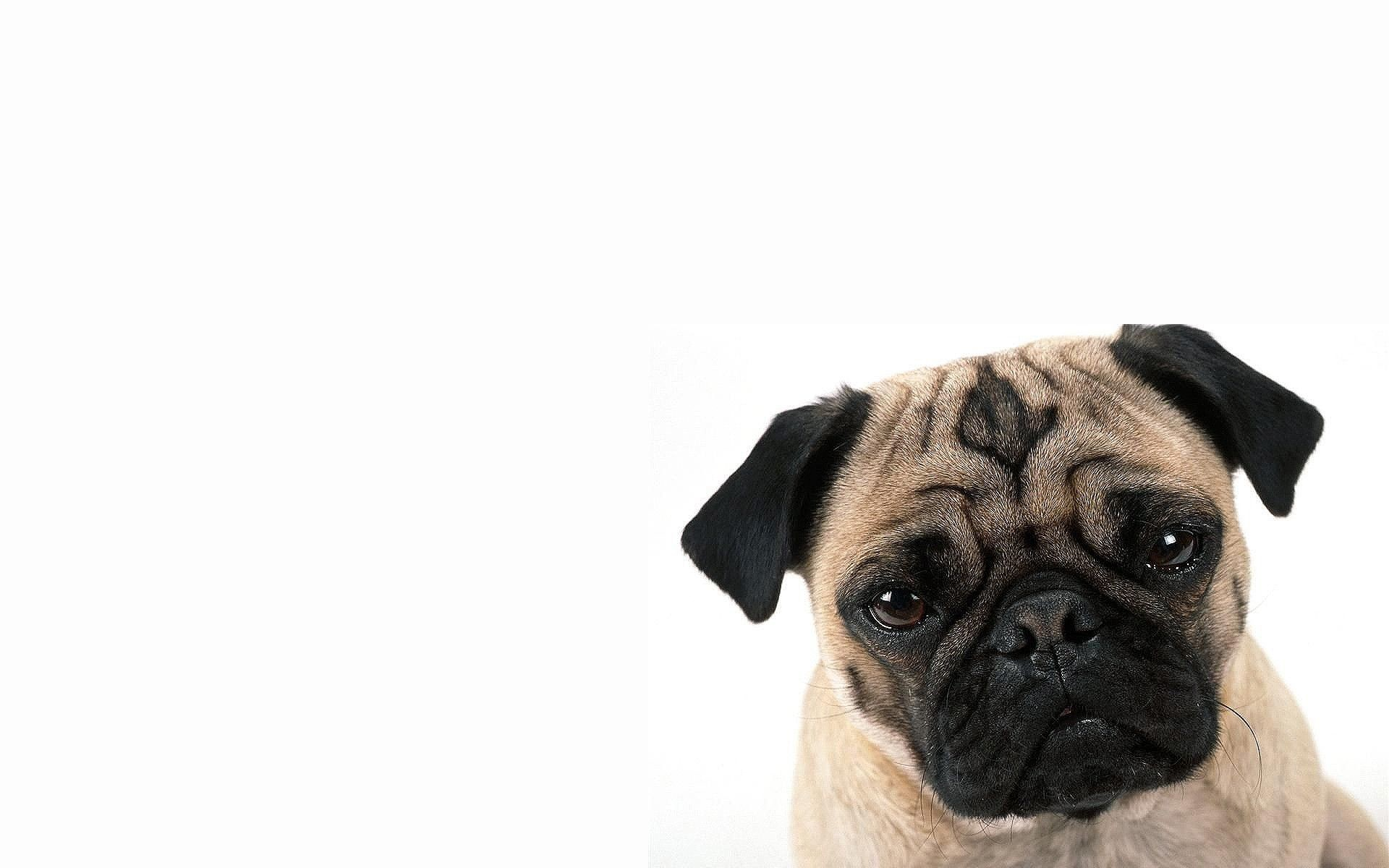 1920x1200 pug cute dog - Wallpaper