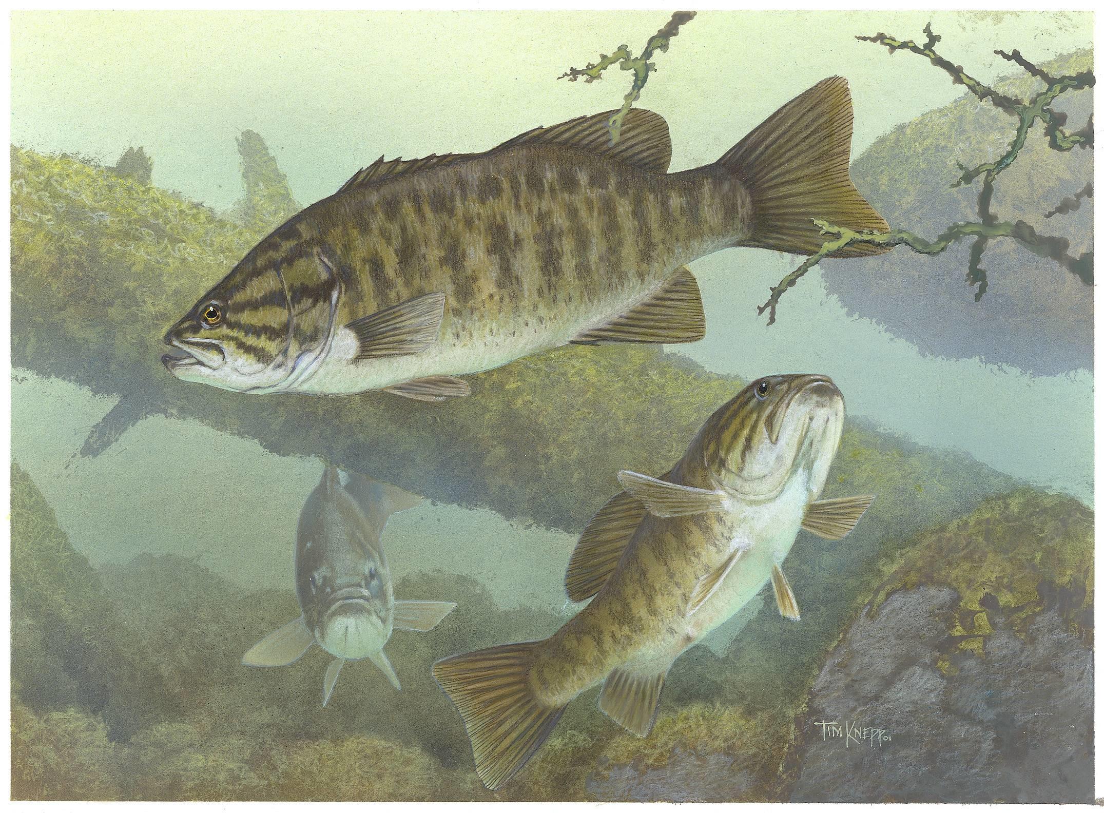 smallmouth bass desktop