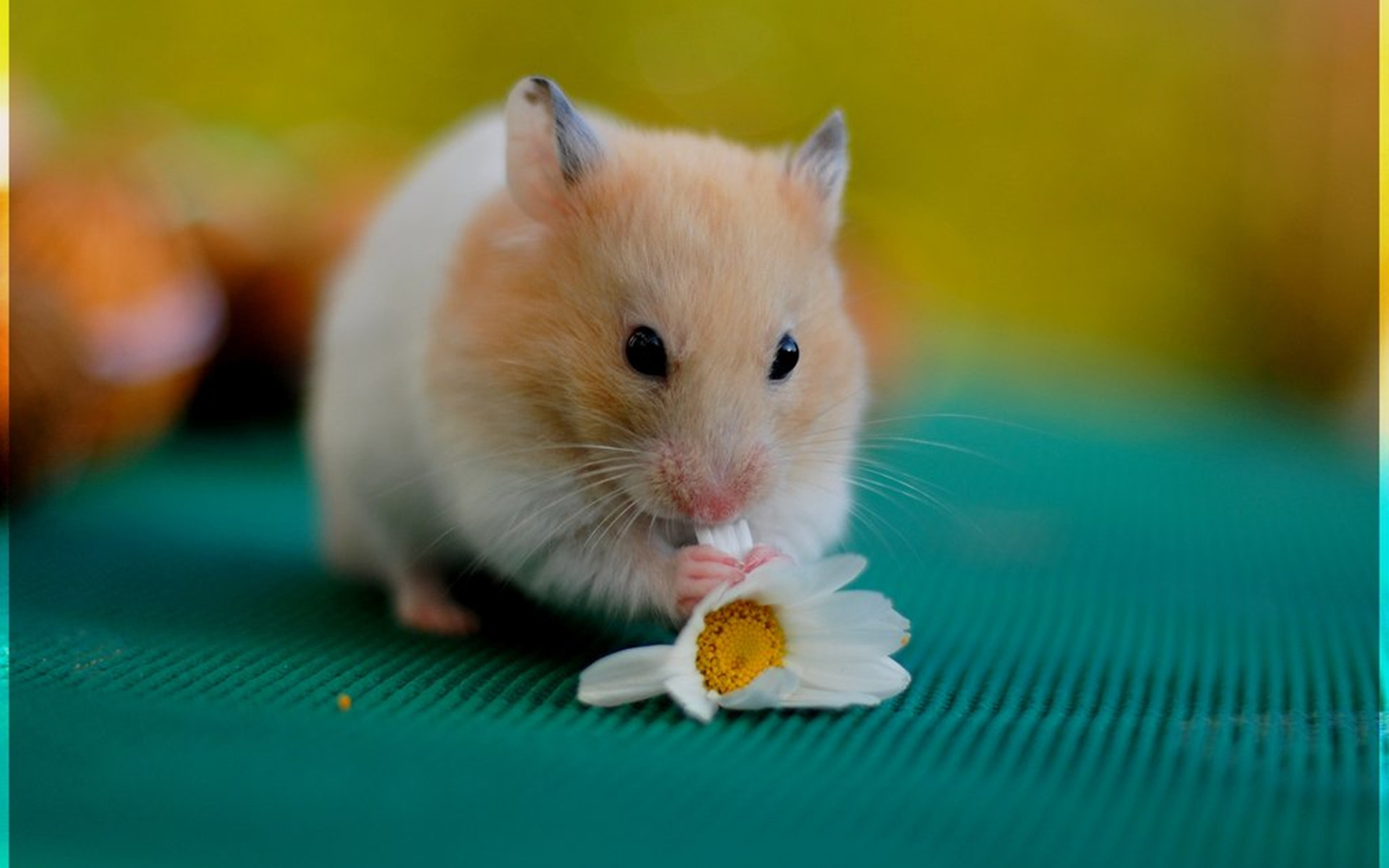 1920x1200 Cute Hamster Free HD Wallpapers 1080p Download #3165 Wallpaper .