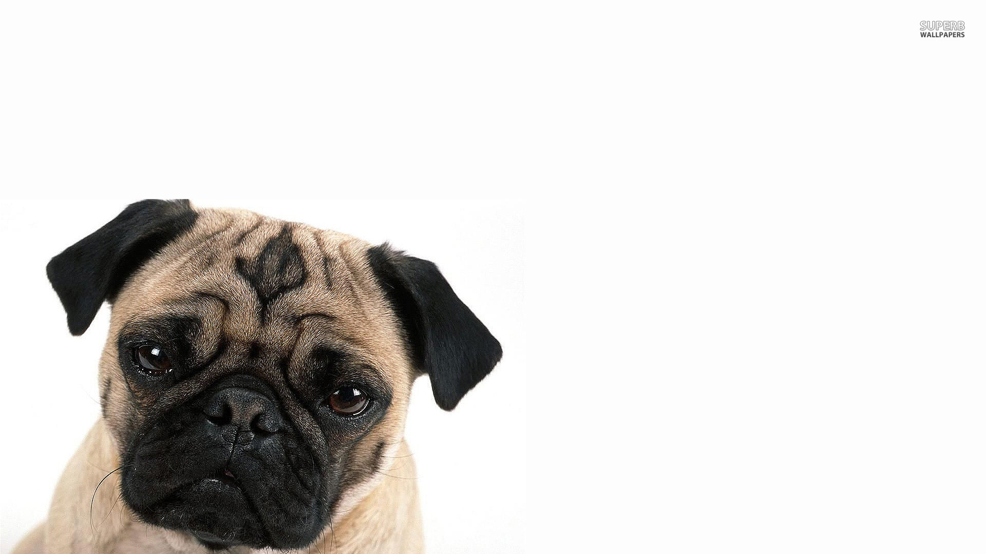 1920x1080 Funny Pug Wallpaper 22275 Source · 12 Cute Pug Wallpapers Backgrounds HD  Saveourpuppy com