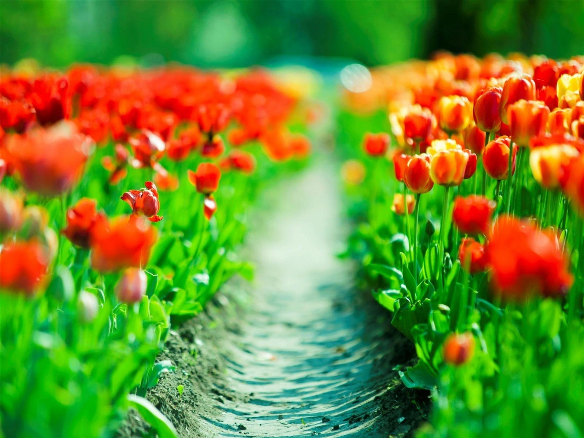 1920x1440 Beautiful Spring Tulips Background Free Download