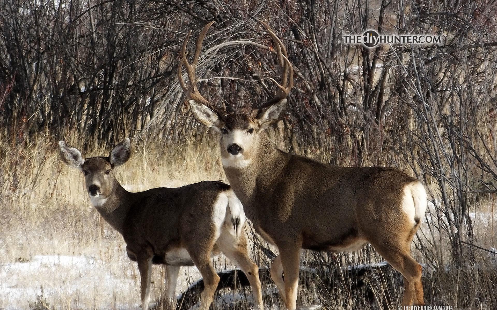 Whitetail Deer Wallpaper Screensaver (47+ Images
