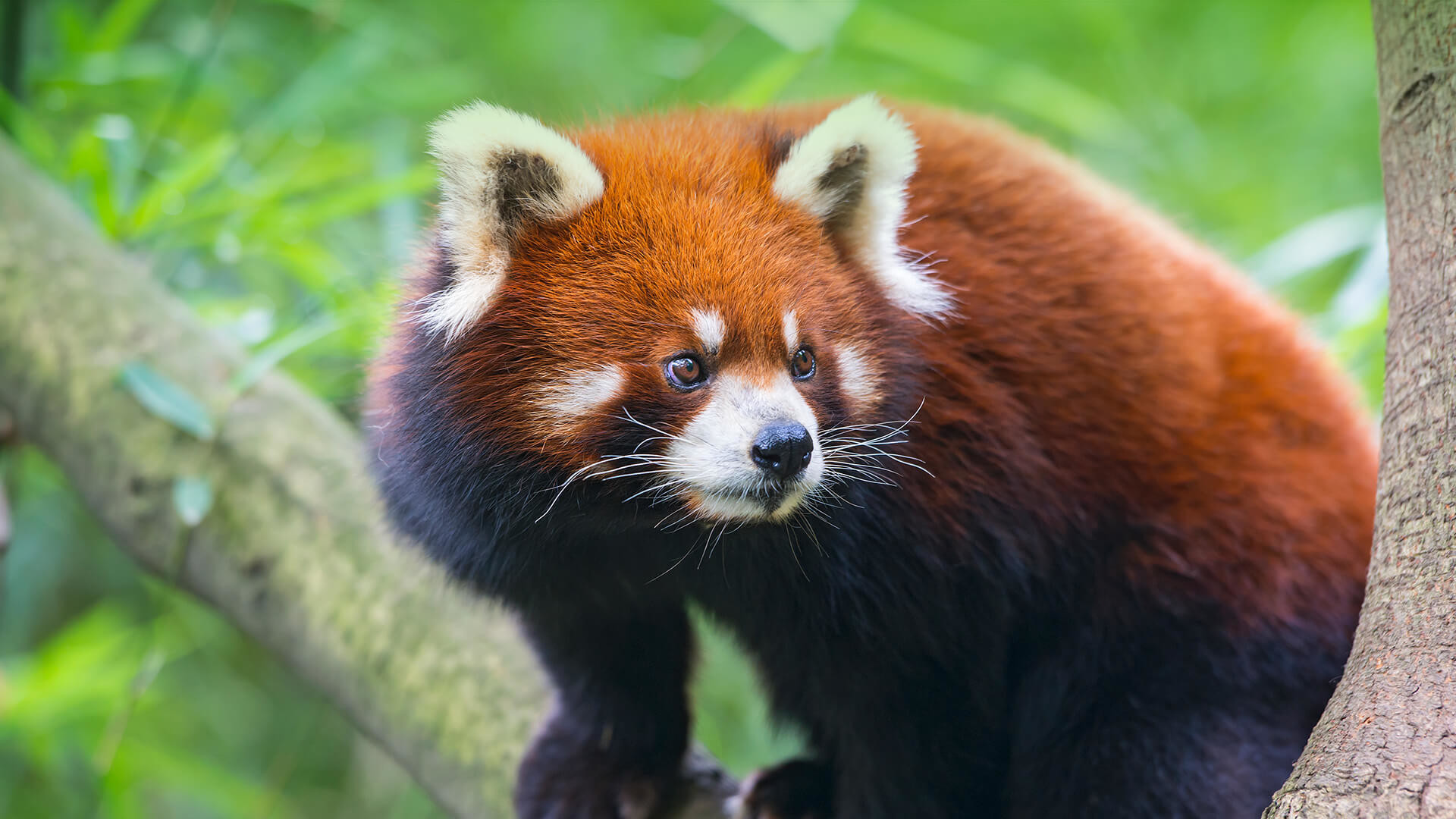 1920x1080 Where Do Red Pandas Live? And Other Red Panda Facts | Stories | WWF ...