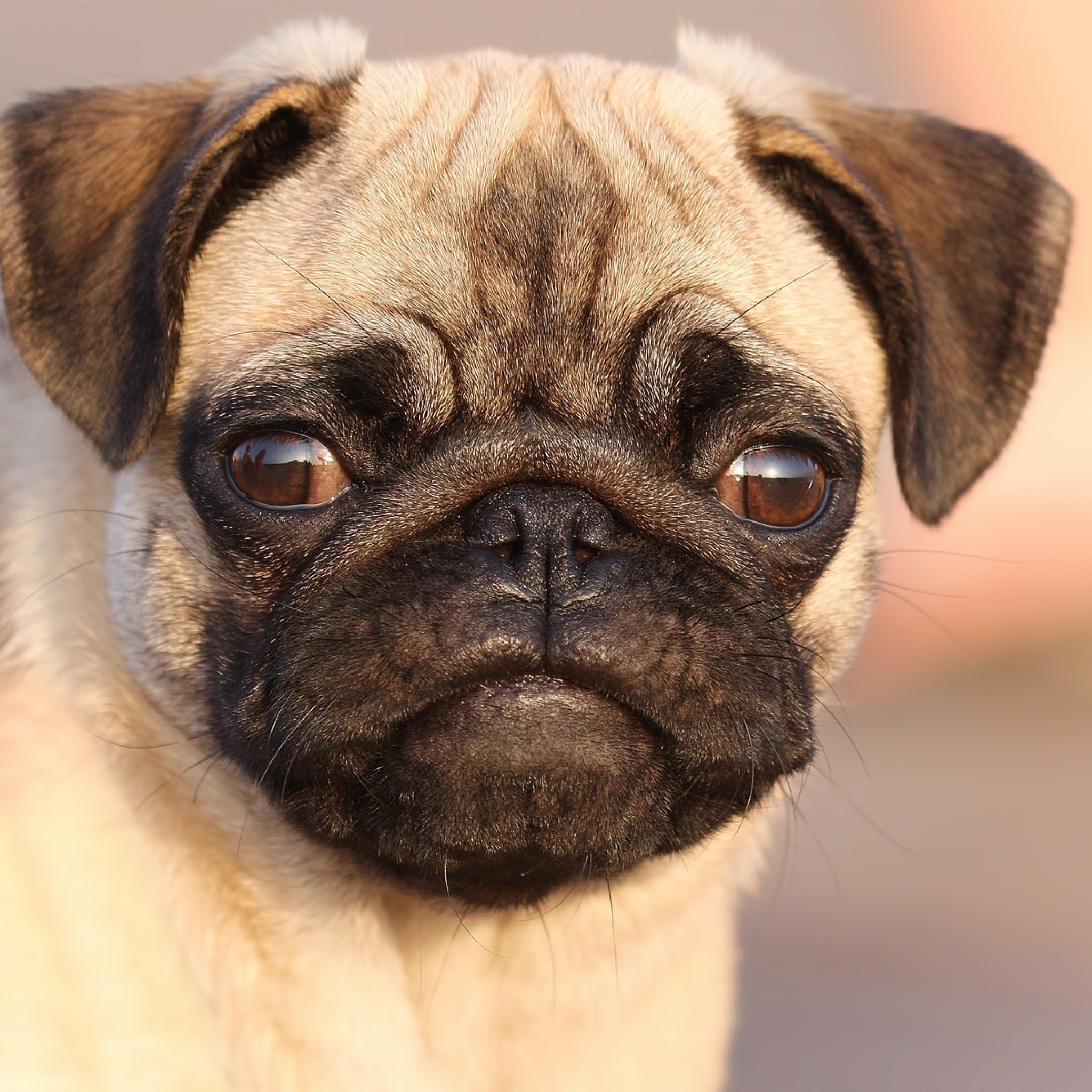 Pug Puppies Wallpaper (61+ Images