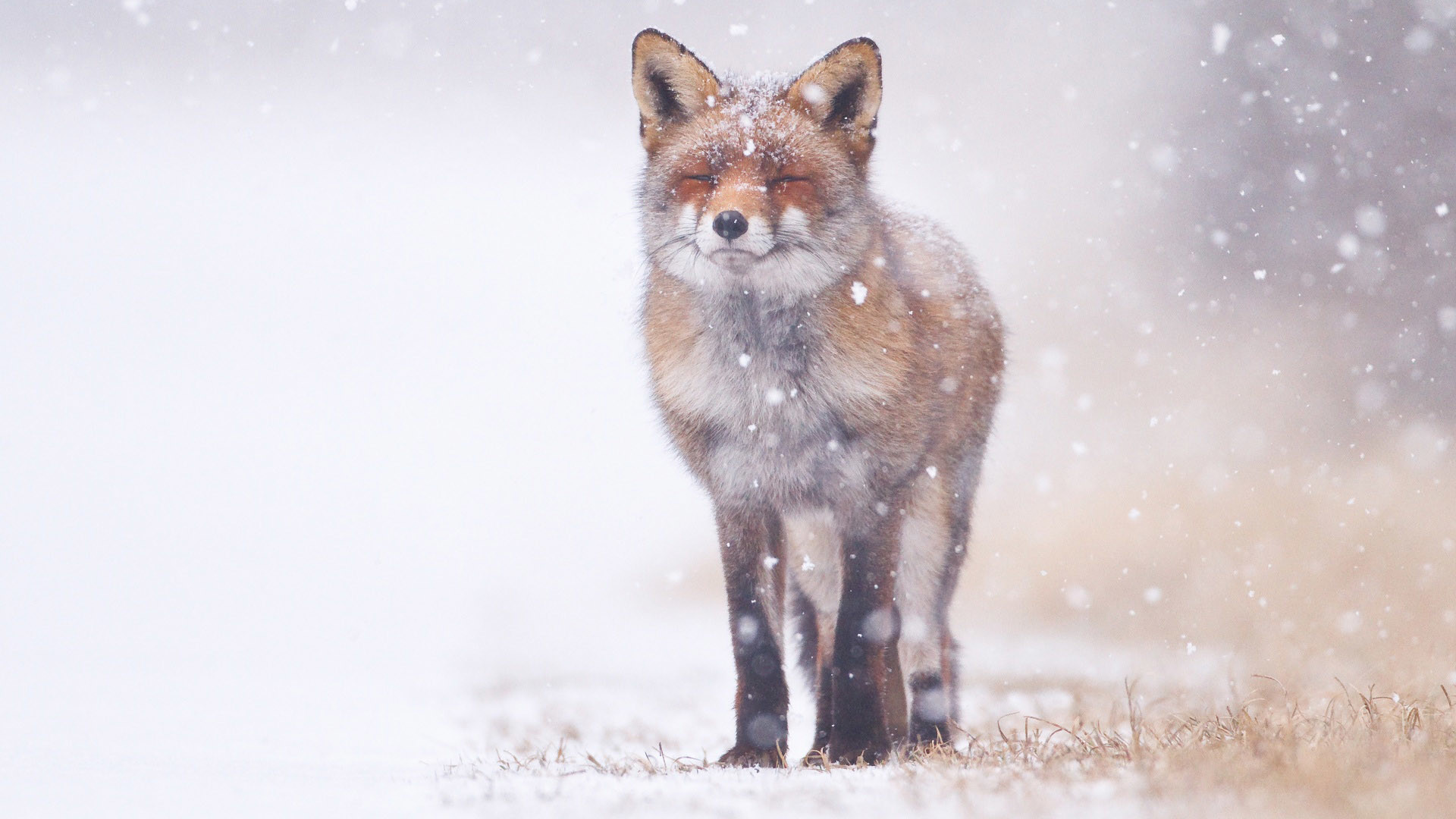 1920x1080 Red Fox in Snow