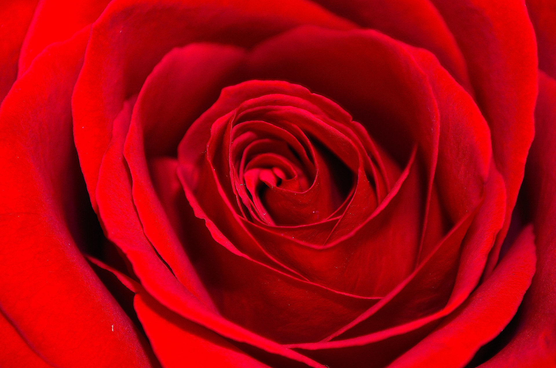 Red Roses Background (36+ Images