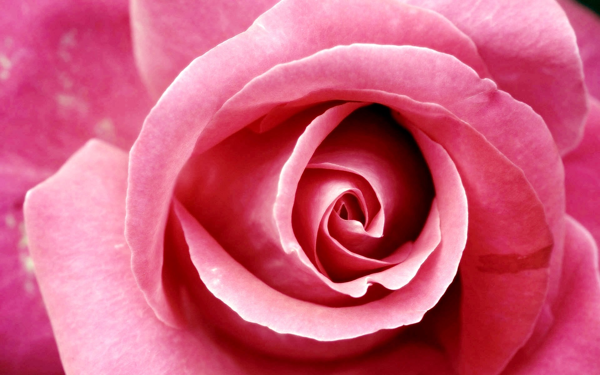 1920x1200 Beautiful Pink Rose Wallpapers | HD Wallpapers