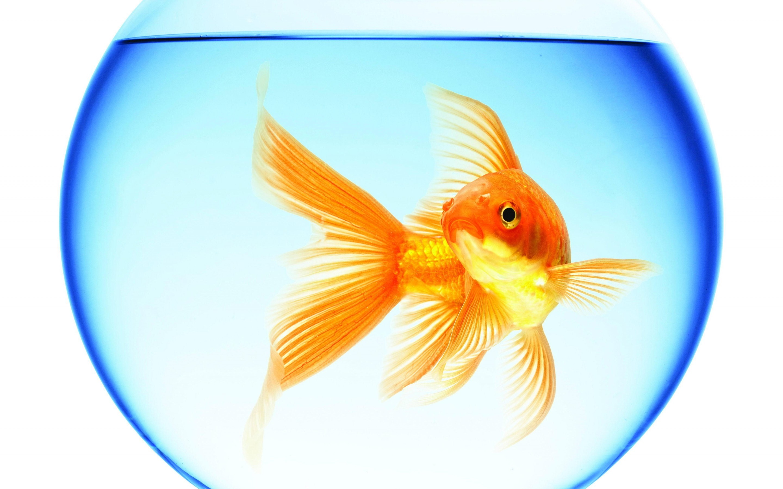 Gold Fish Wallpaper 67 Images