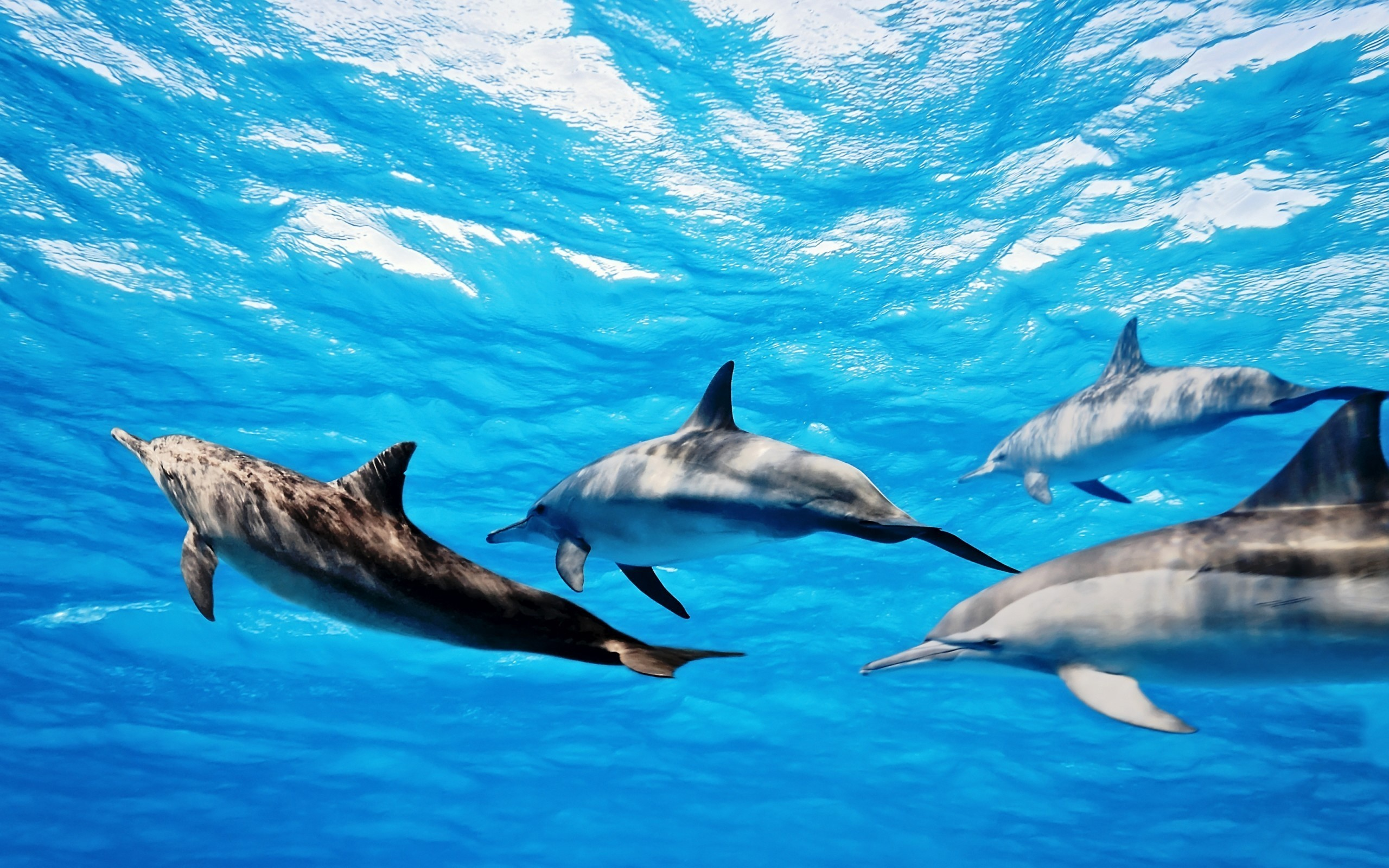 2560x1600 Dolphins Wallpapers High Quality Download Free