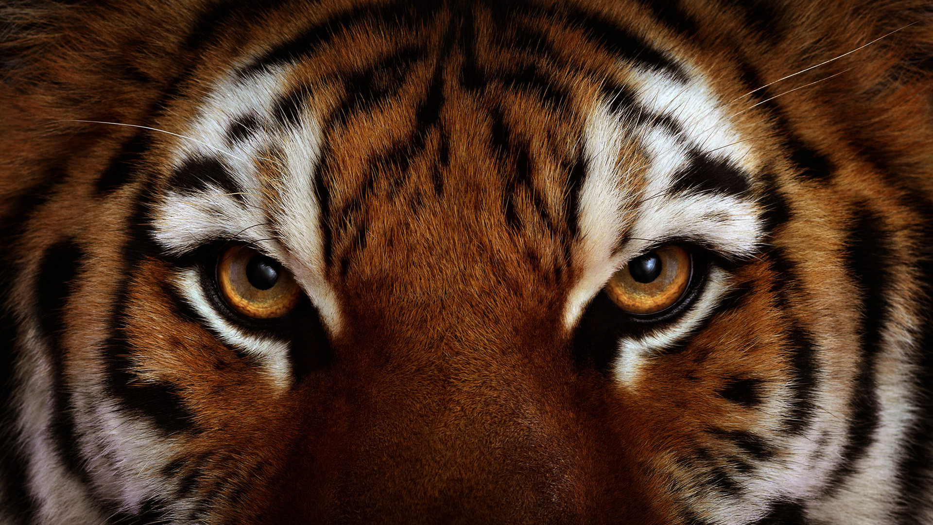 1920x1080 tiger wallpaper full hd 65 images - Animal 1920x1080 ...