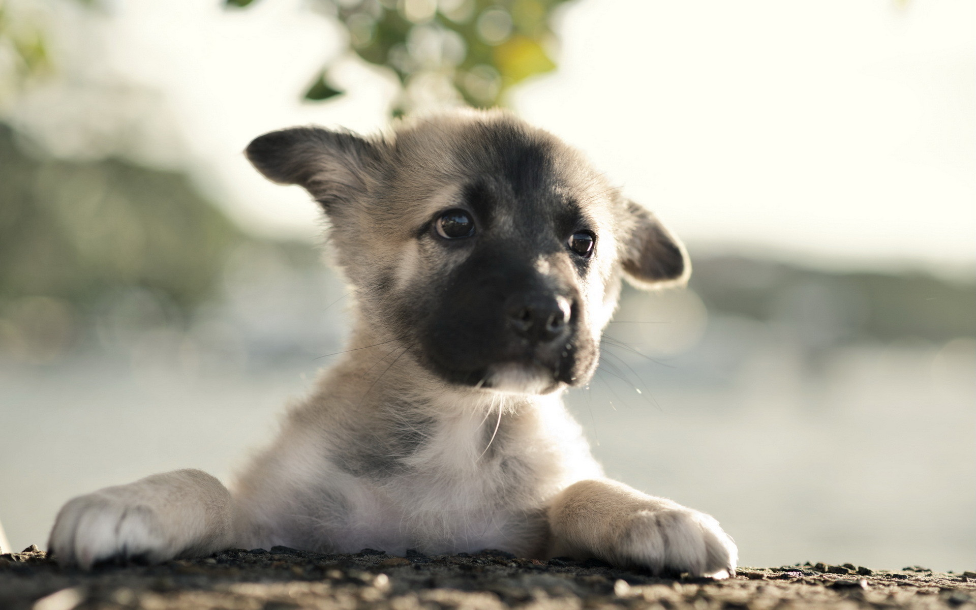 Baby German Shepherd Wallpaper 62 Images