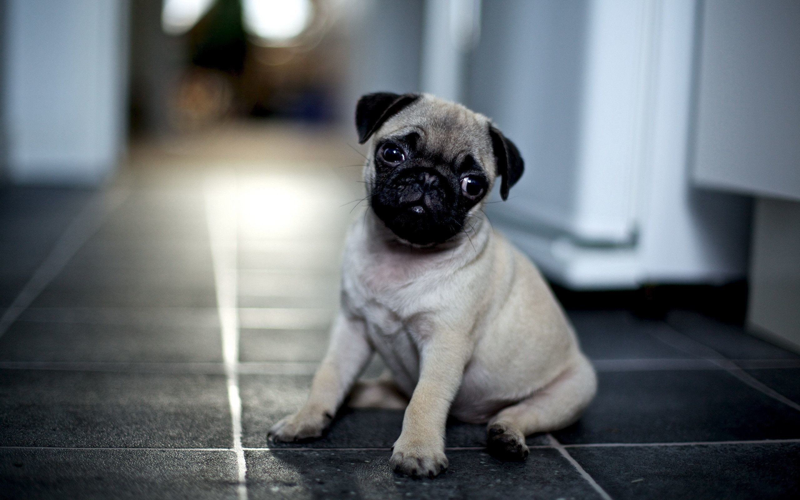 2560x1600 hd pug wallpapers hd wallpapers background photos mac wallpapers artworks  high definition wallpaper for iphone free download 2560×1600 Wallpaper HD