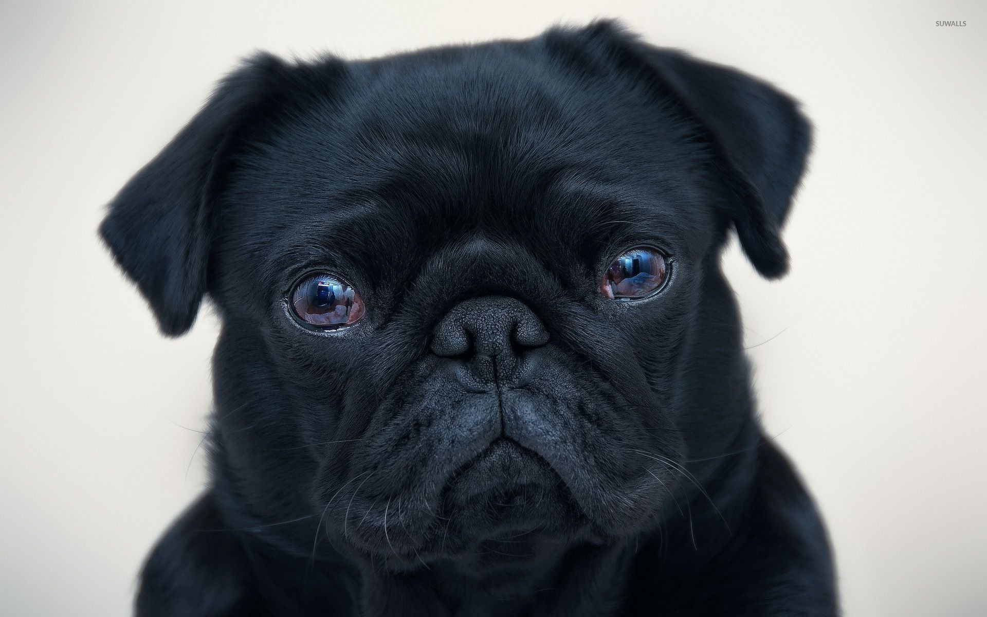 1920x1200 Black pug wallpaper