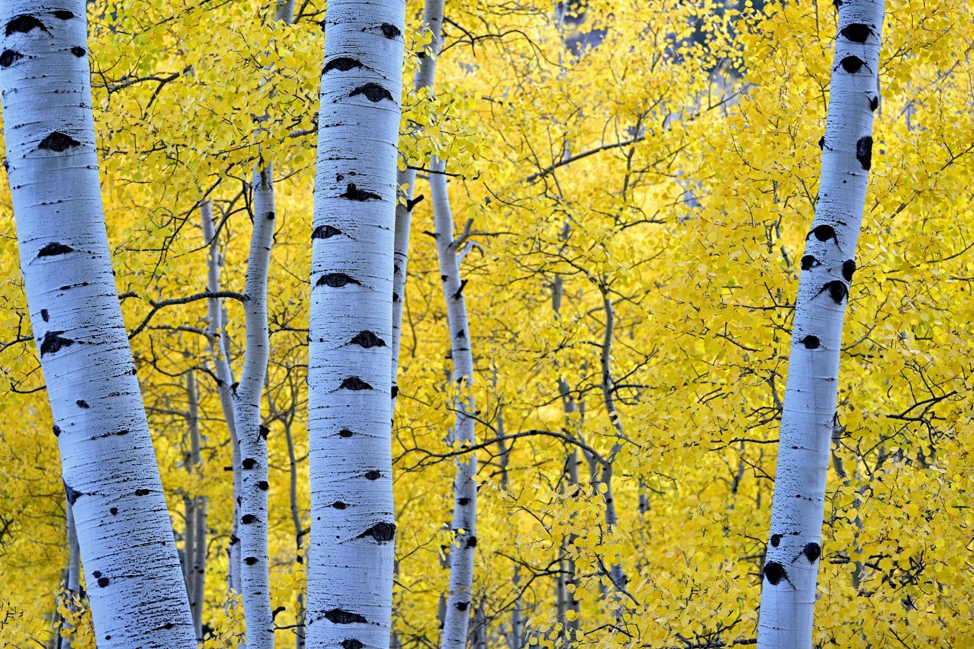 1920x1281 forest tree leaves autumn birch aspen