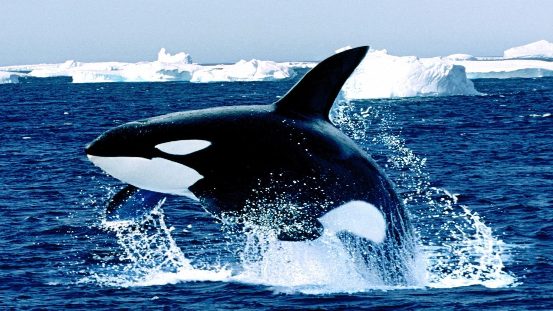 Orca whale wallpaper 56 images 1920x1080 orca whale wallpapers widescreen wallpapers for desktop pinterest killer whales wallpaper altavistaventures Gallery