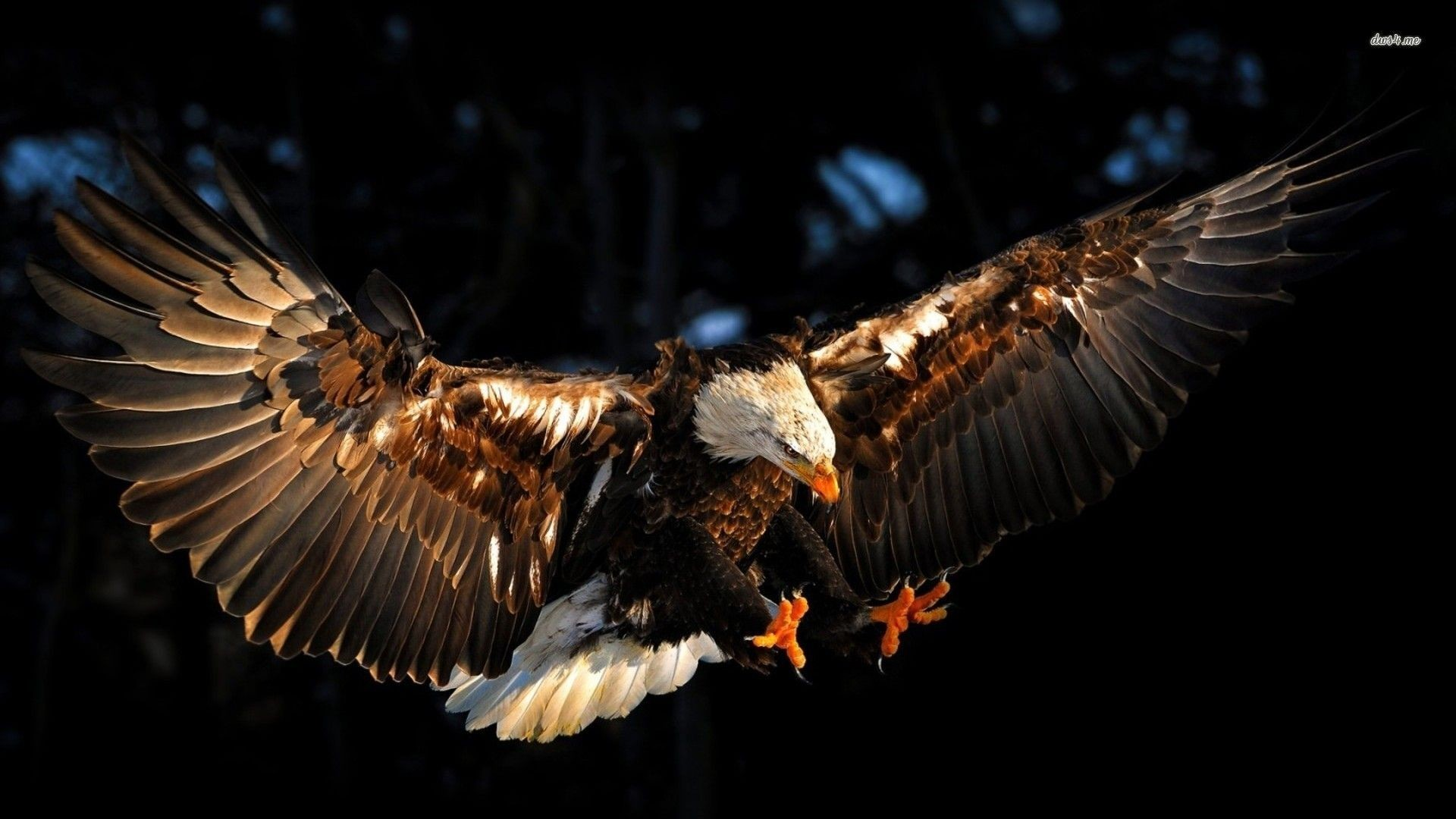 1920x1080 Interesting Bald Eagle Wallpapers, HDQ Bald Eagle Images Collection:  2553501,