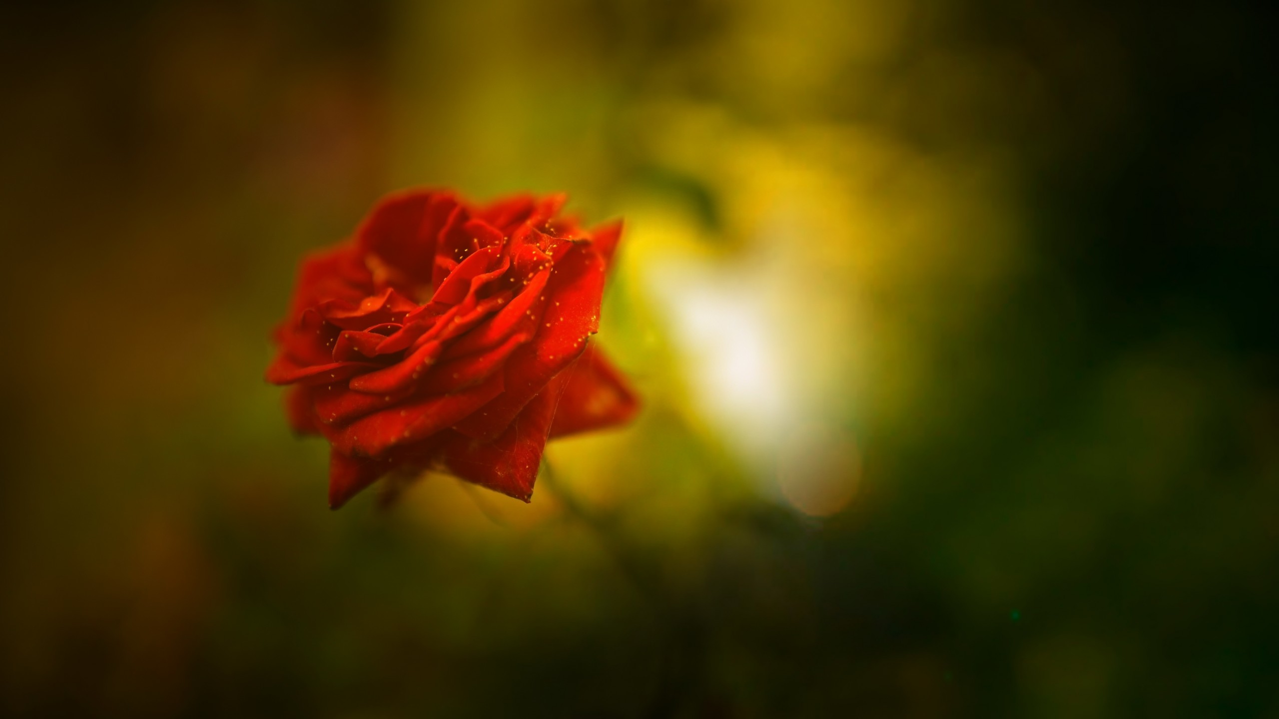 2560x1440 Flowers / Red Rose Wallpaper