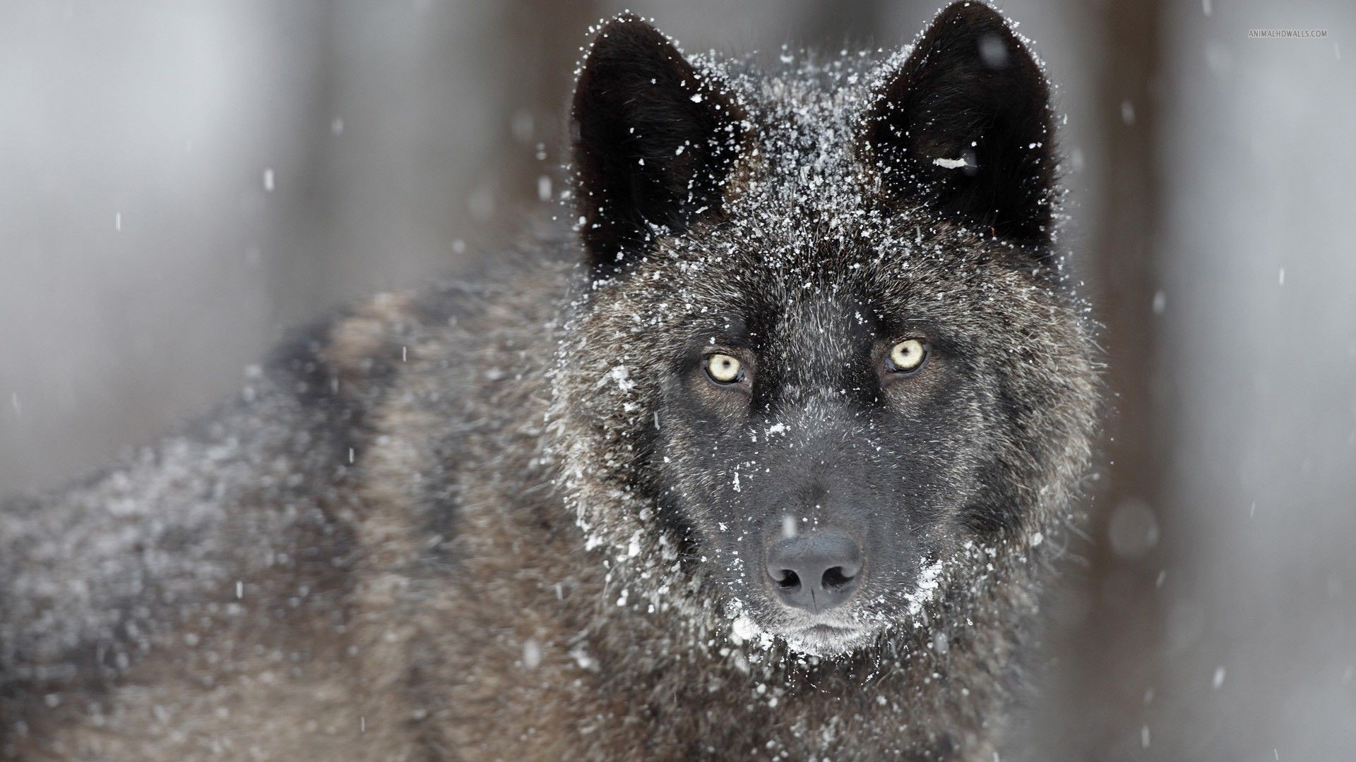 1920x1080 Black Wolf Snow Ice Wallpaper